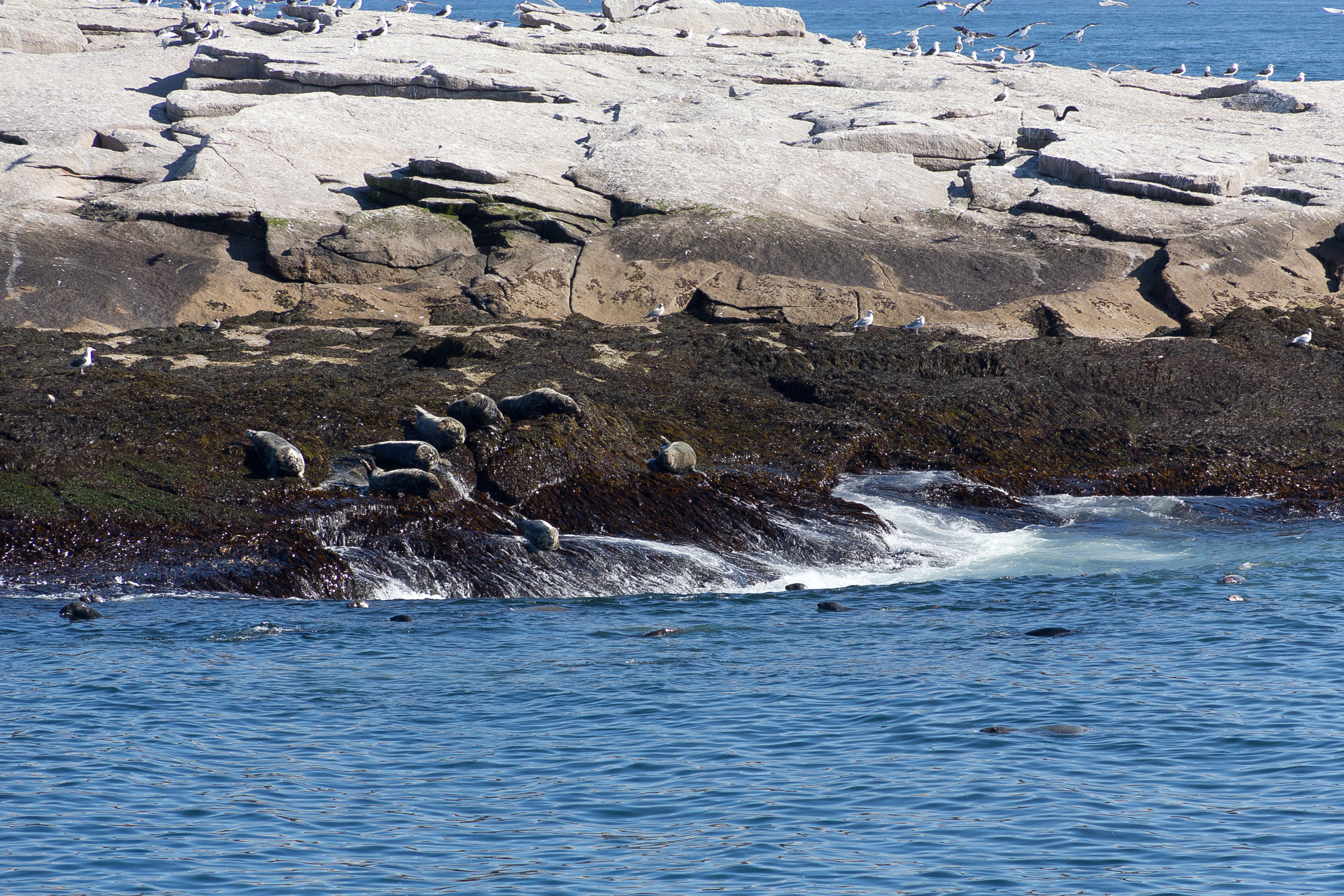 Seals on Mount Desert Rock