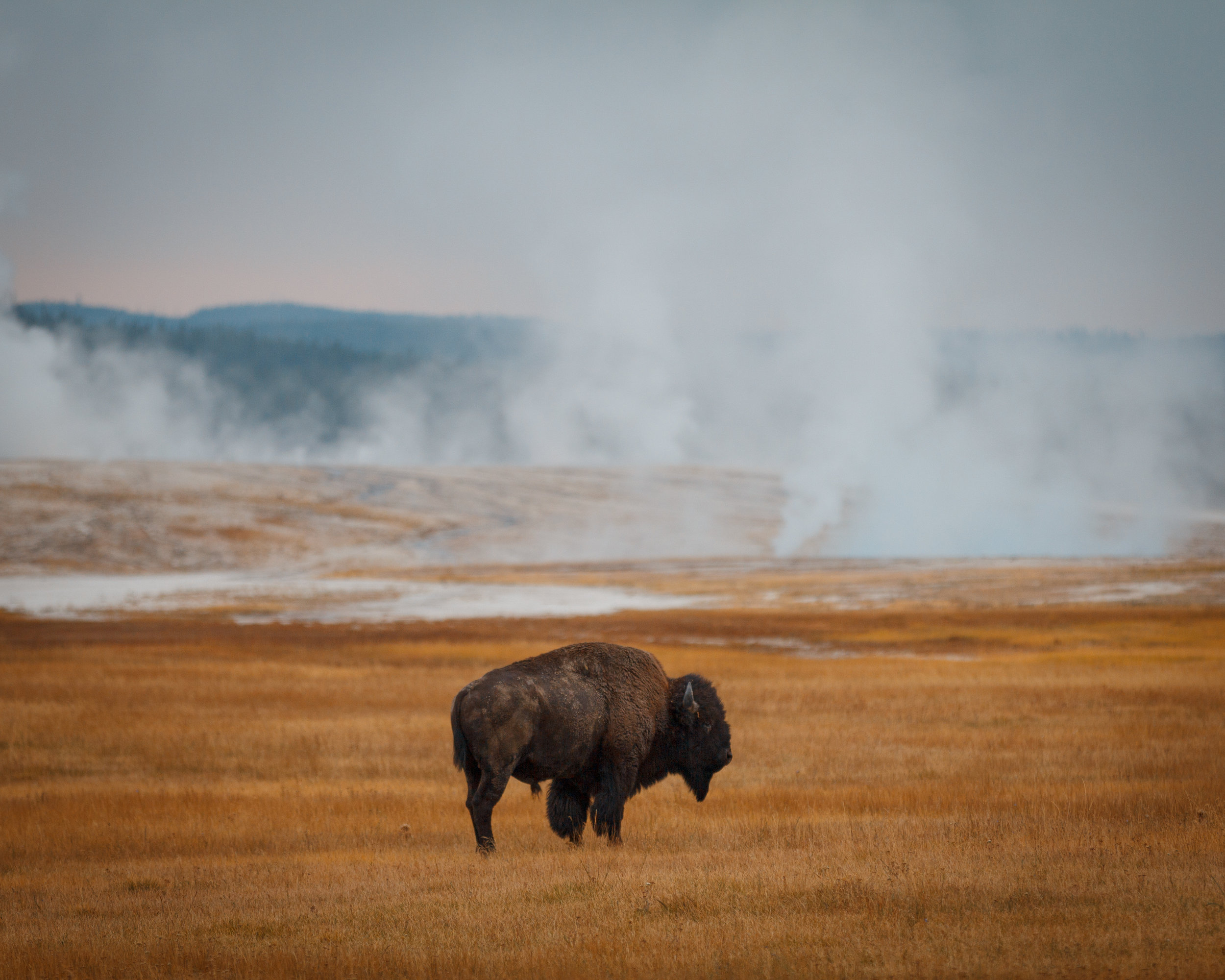 Bison in front of the Lower Geyser Basin