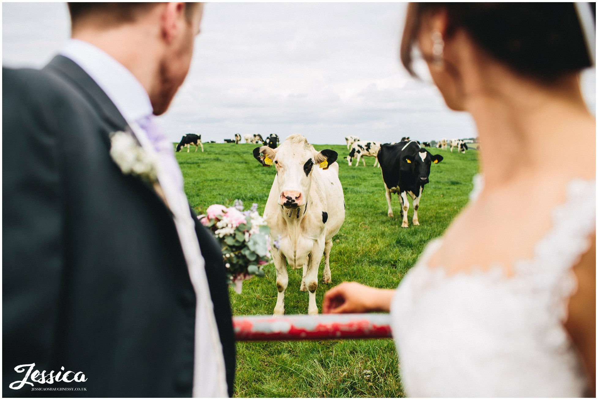 bride & groom have photo with cows at their wedding in cumbria
