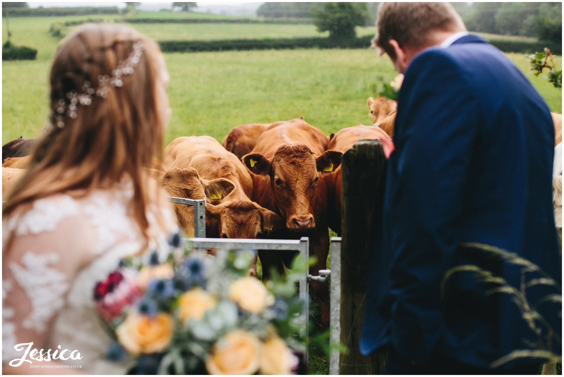 young cows approach couple during their photographs