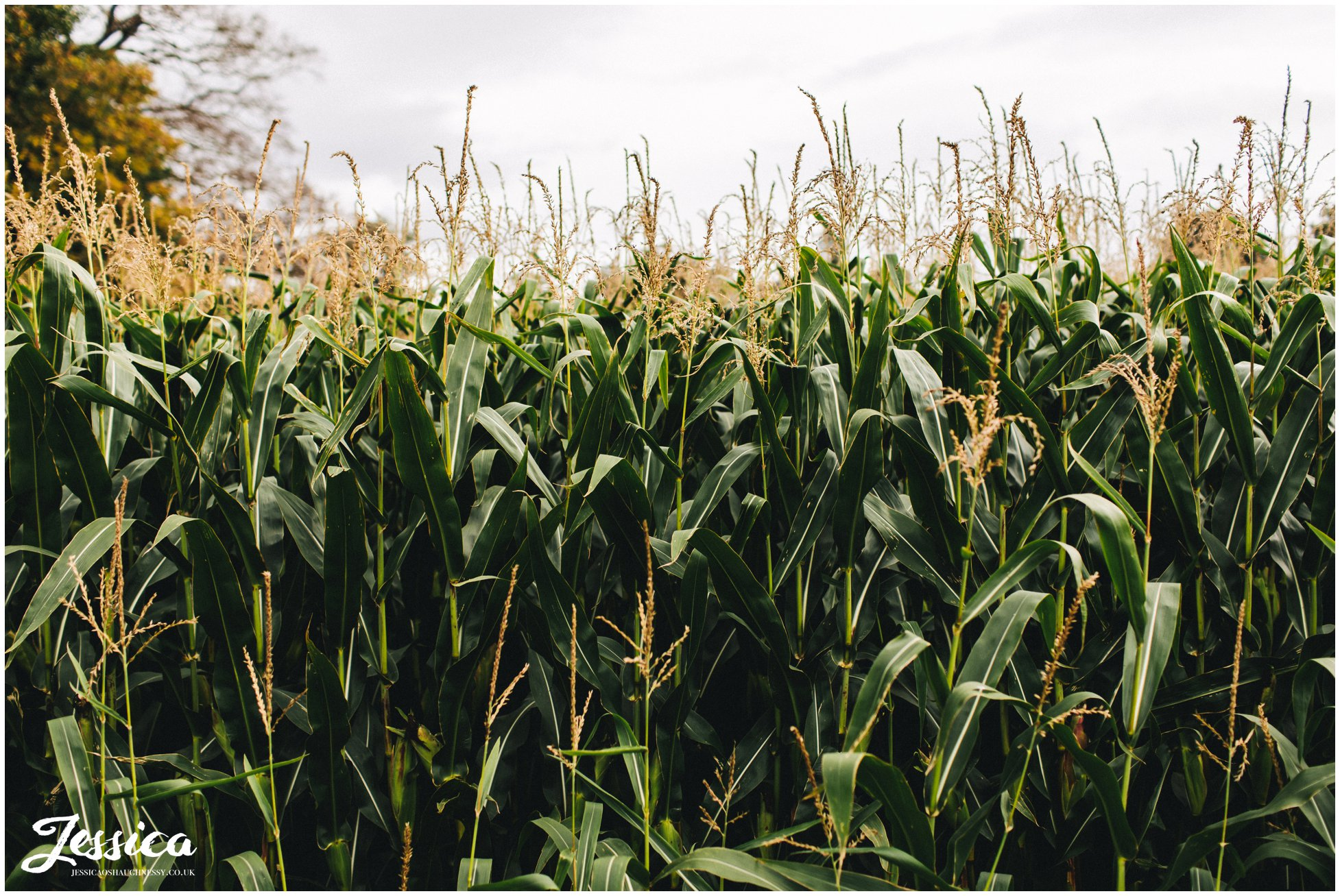 cornfields line the entrance to Llanrhaeadr Springs