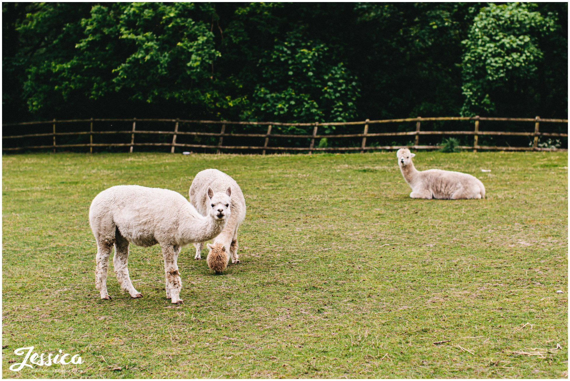 alpacas are kept at mere brook house on the wirral