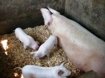 Combrough sow with newly born piglets - RUWO.JPG