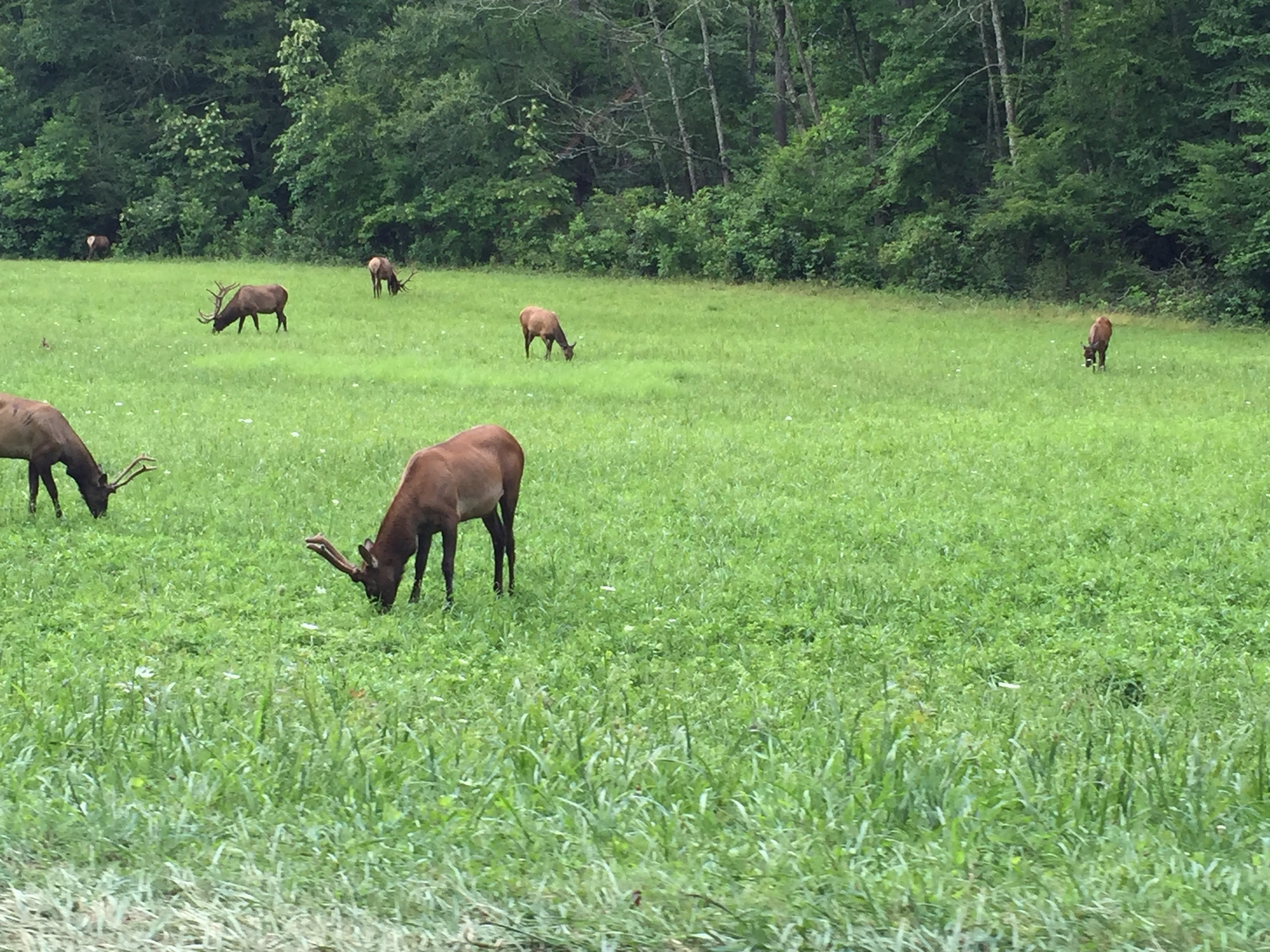 The elk during the drive in the Great Smokies!