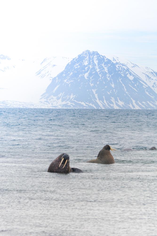 Svalbard_Pukka_WalrusIsland_PerriRothenberg_Resized-8921.jpg