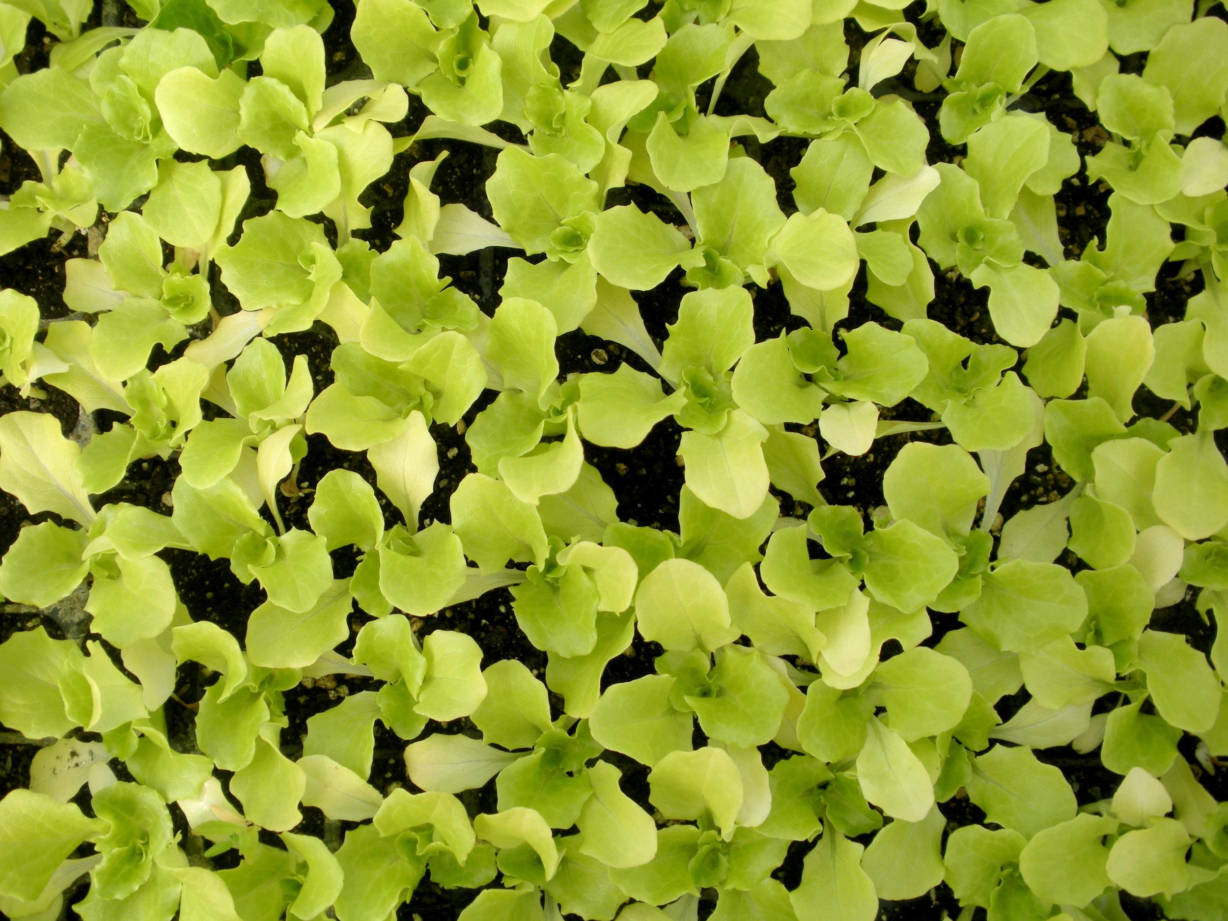 Lettuce grow!     Hunts Brook Farm  (2013); A. Gross