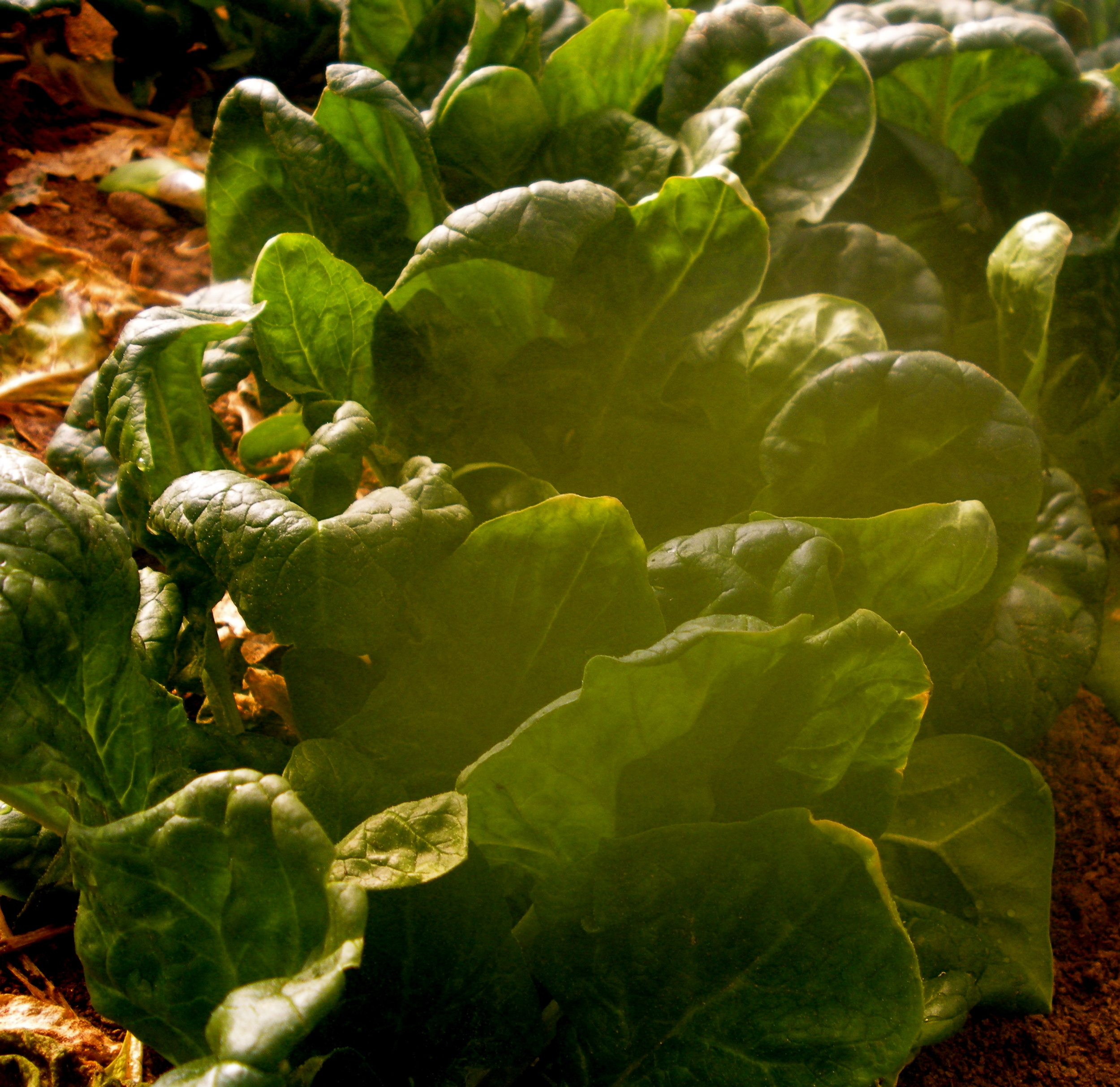 Dal: A good place for spinach. (A.Gross, February 2014)
