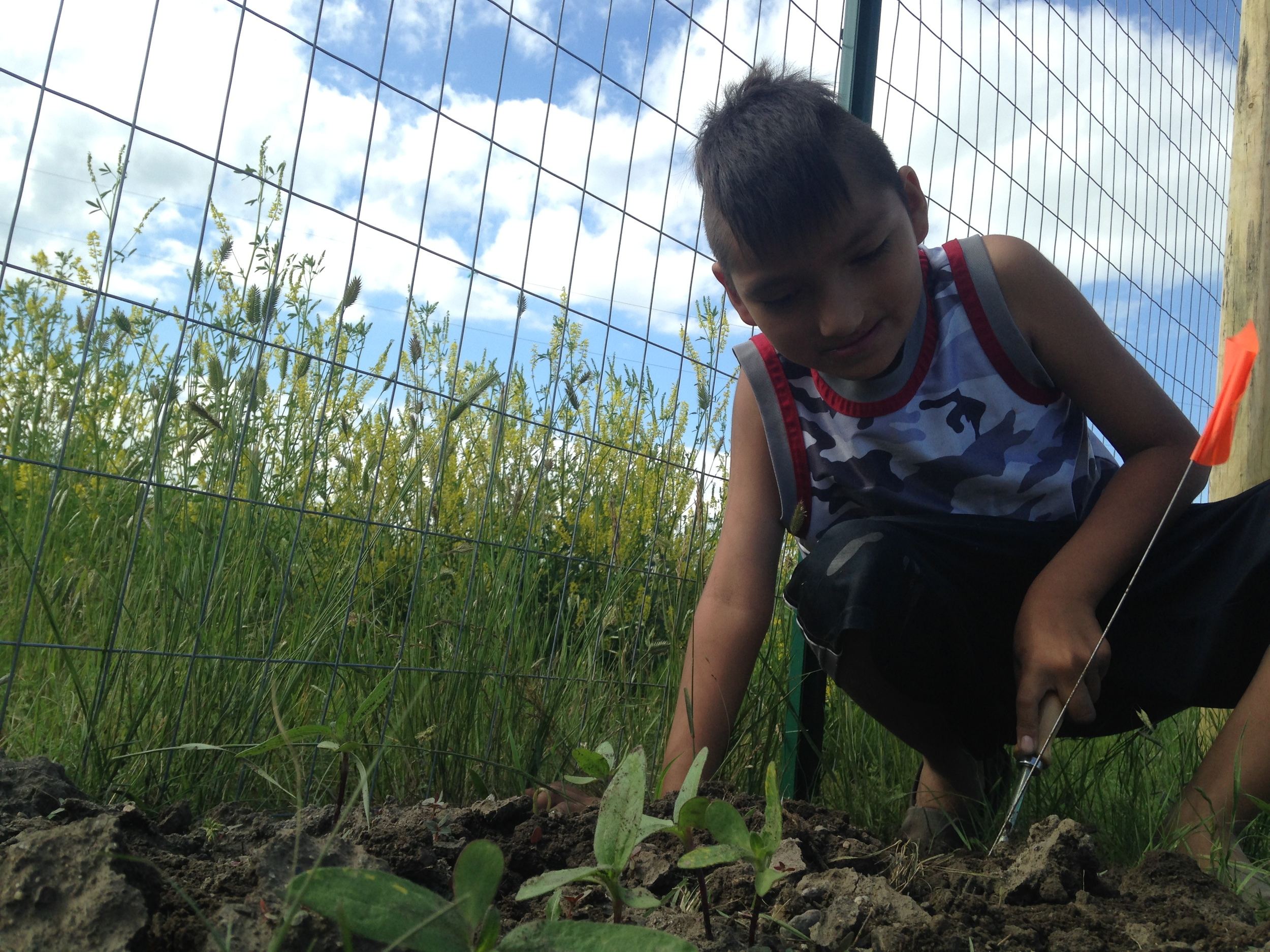 Weeding the sunflowers! (June 2014, A. Gross)
