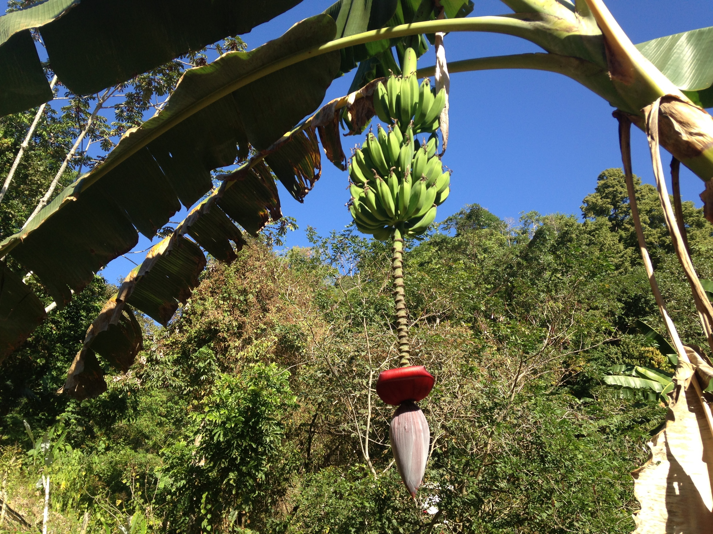 Jungle bananas and a blossom in  Santa Maria Tepexipana