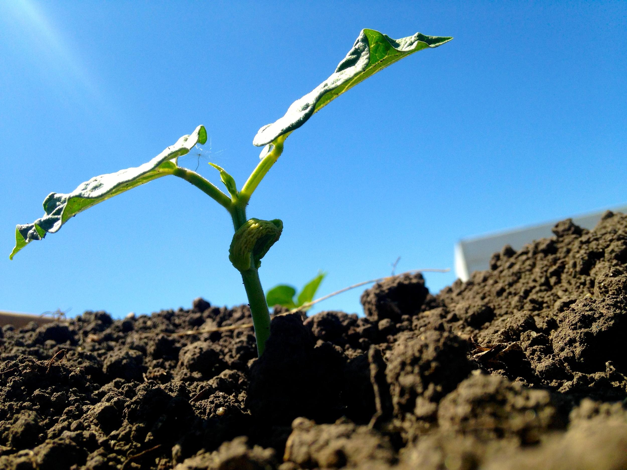 Beans growing in the La Plant community garden (A.Gross,June 2014)
