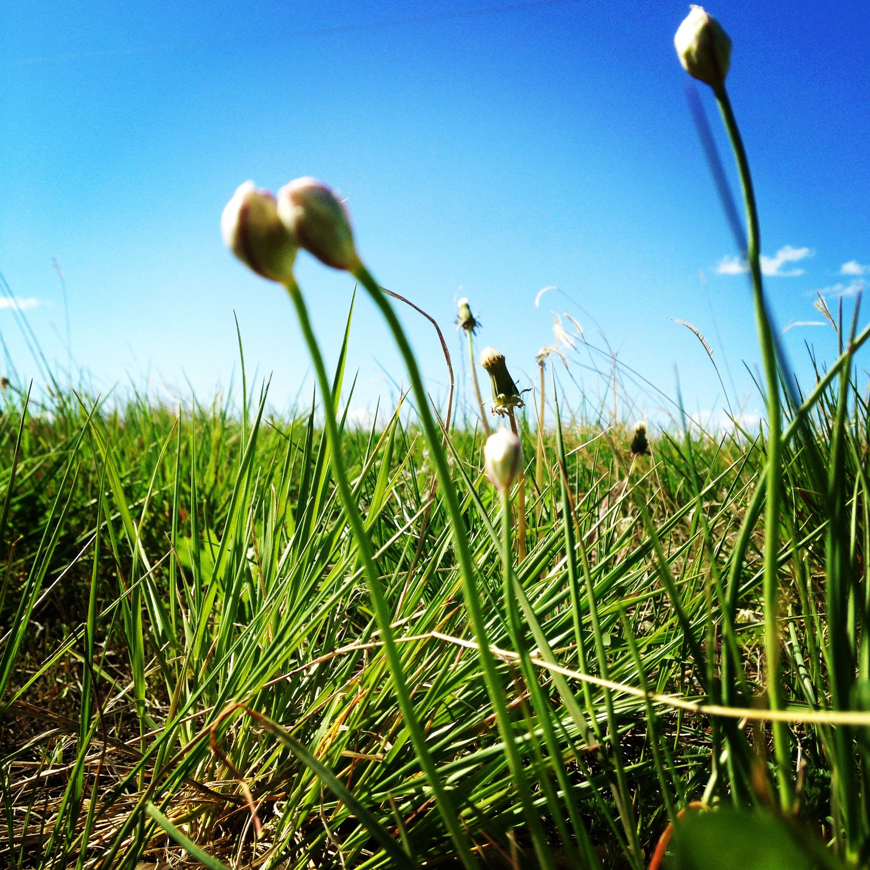 Wild edibles: Wild onions dot the grasslands in La Plant in early June. (A.Gross, June 2014)