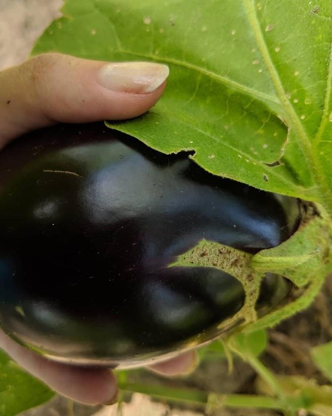 eggplanthand.jpg