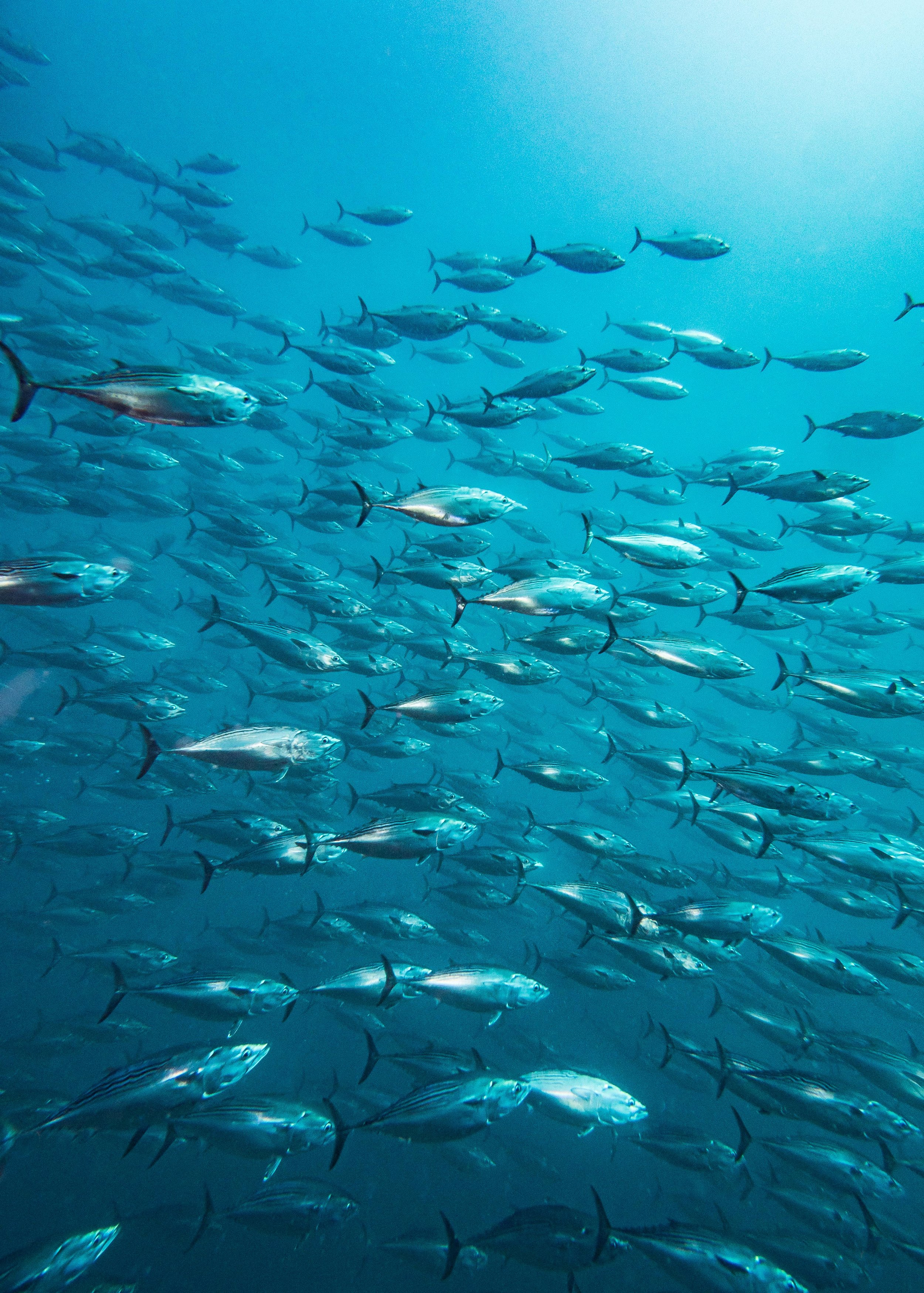 A school of Bonito, relatives of Tuna