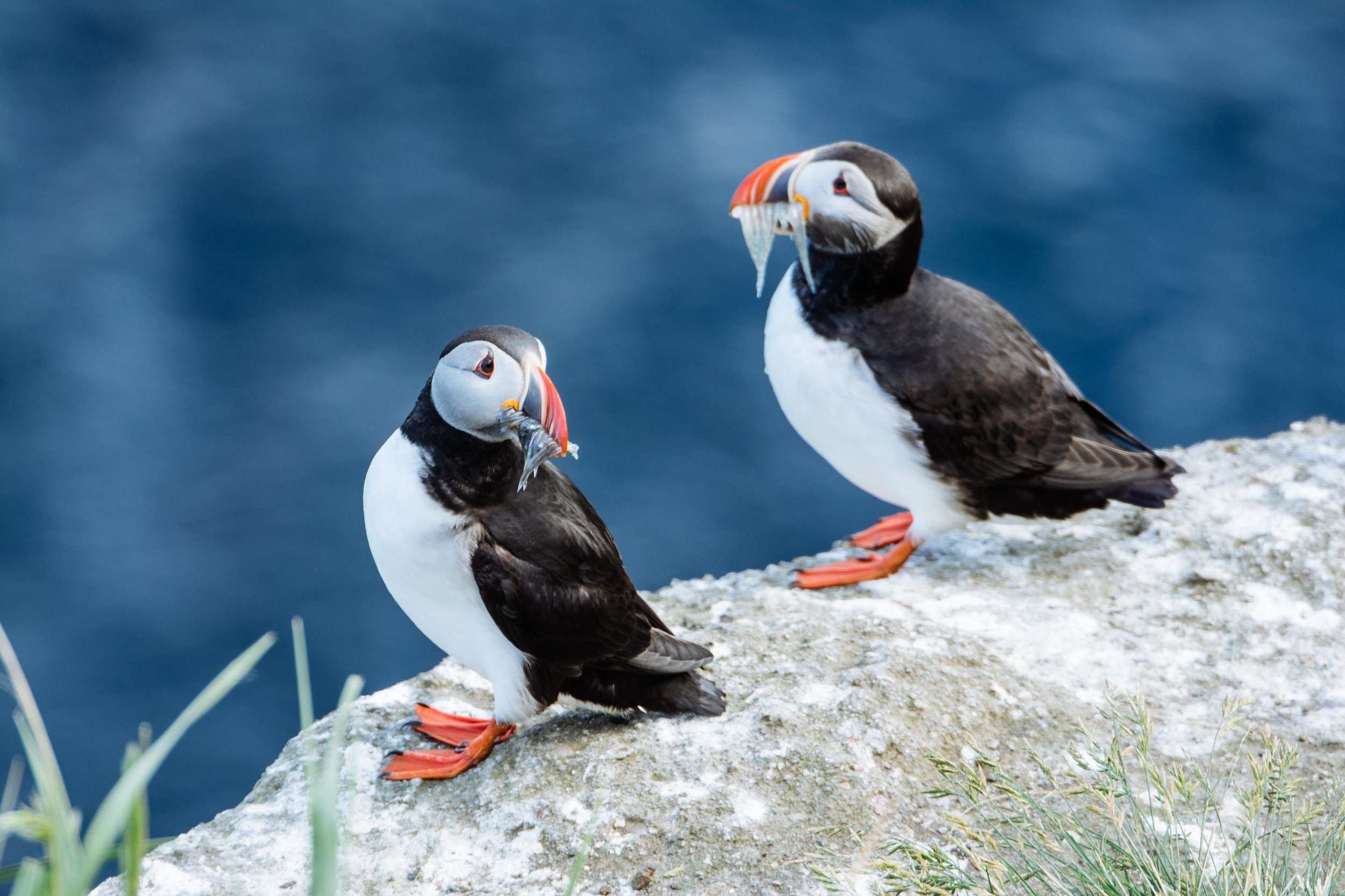 Atlantic Puffins hold multiple fish in their mouths thanks to spine-like structures inside their beaks that prevent the fish from sliding out.