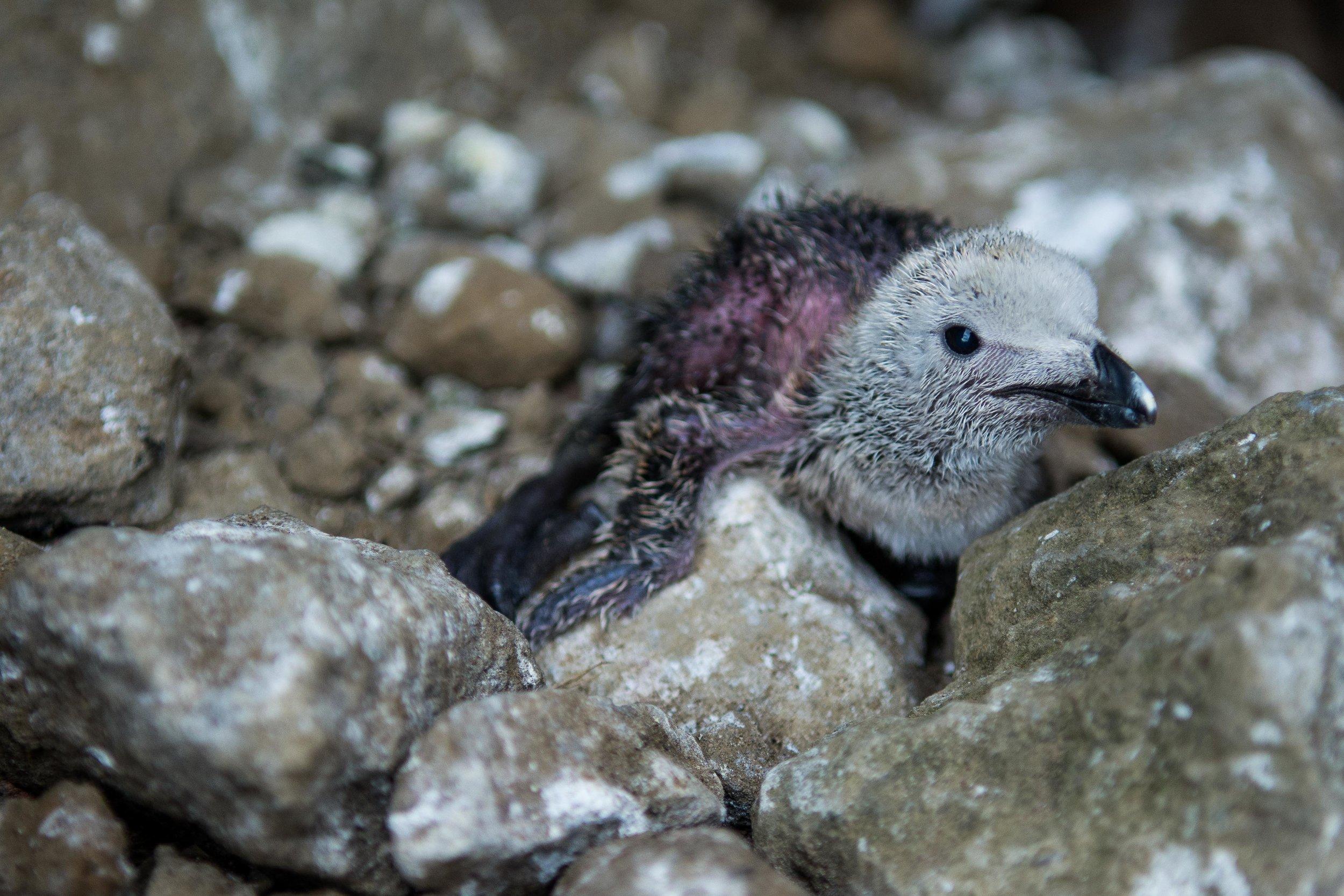 A newly hatched Razorbill