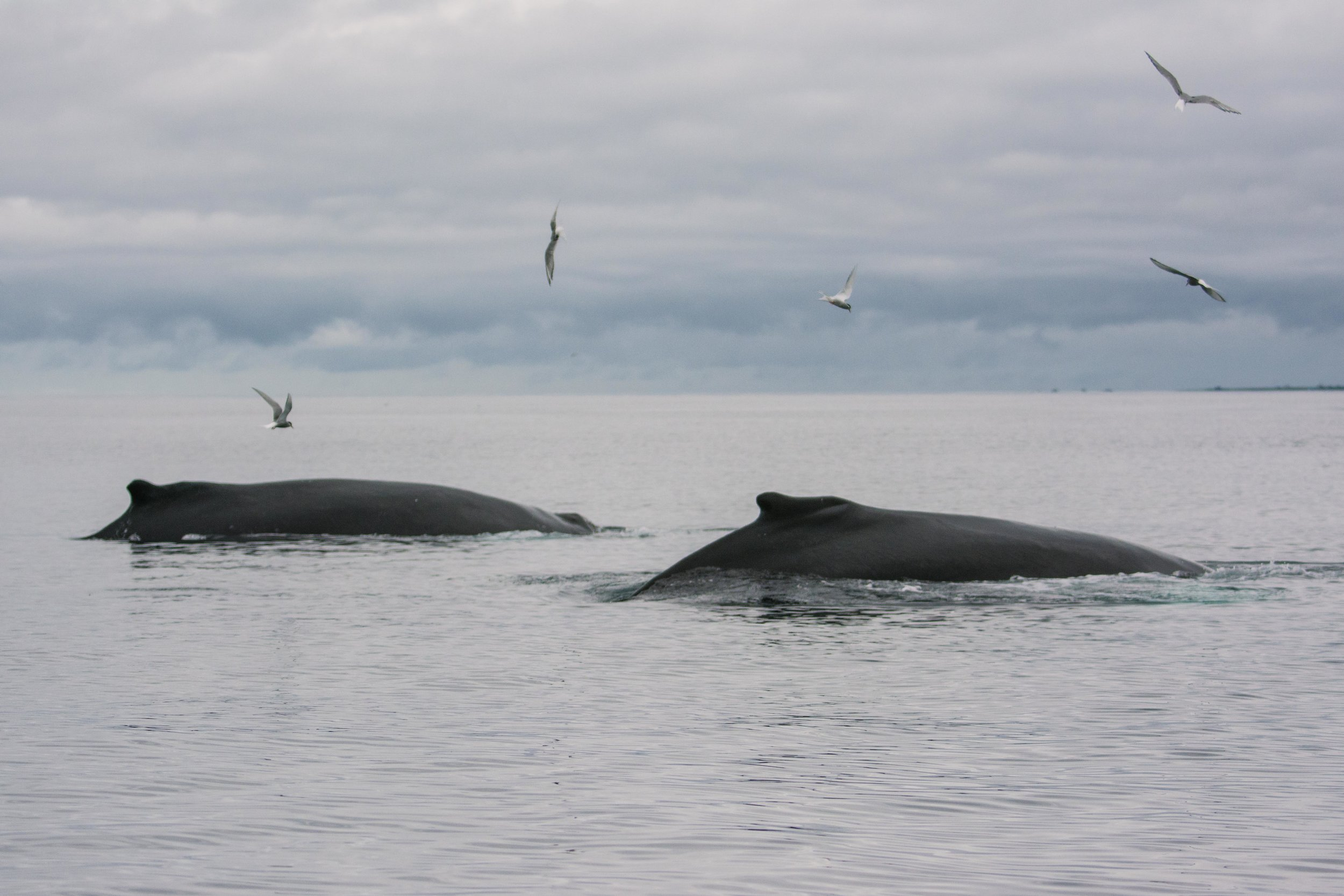 Humpback whale, Húsavík.