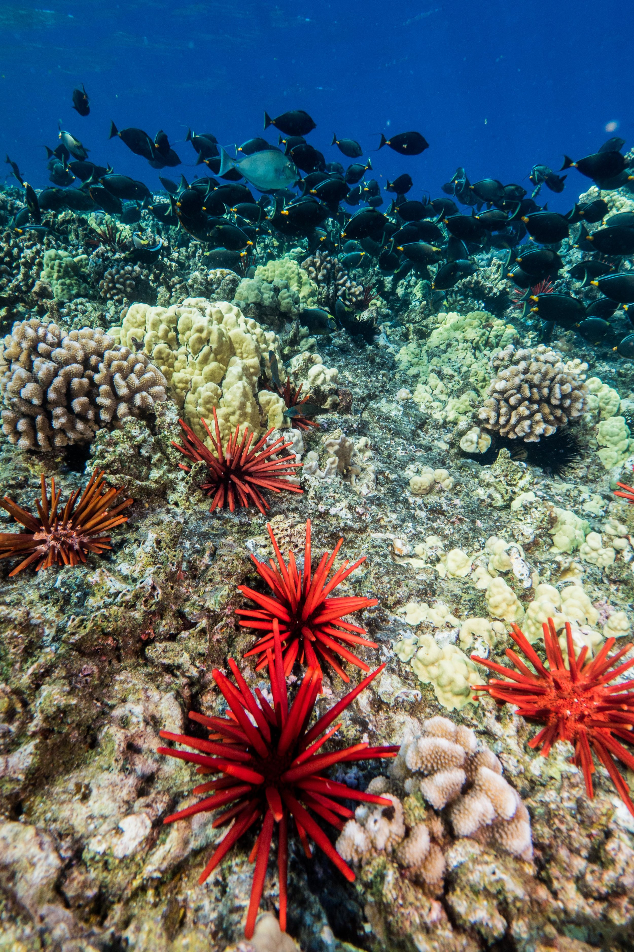 Bright red Slate Pencil Urchins sit on the top of the reef at Molokini Crater off the coast of Maui while Orangespine Unicorn fish shoal in the shallows.  Molokini was formed by volcanic ash approximately 230,000 years ago, and now supports a rich coral reef in the waters around it.