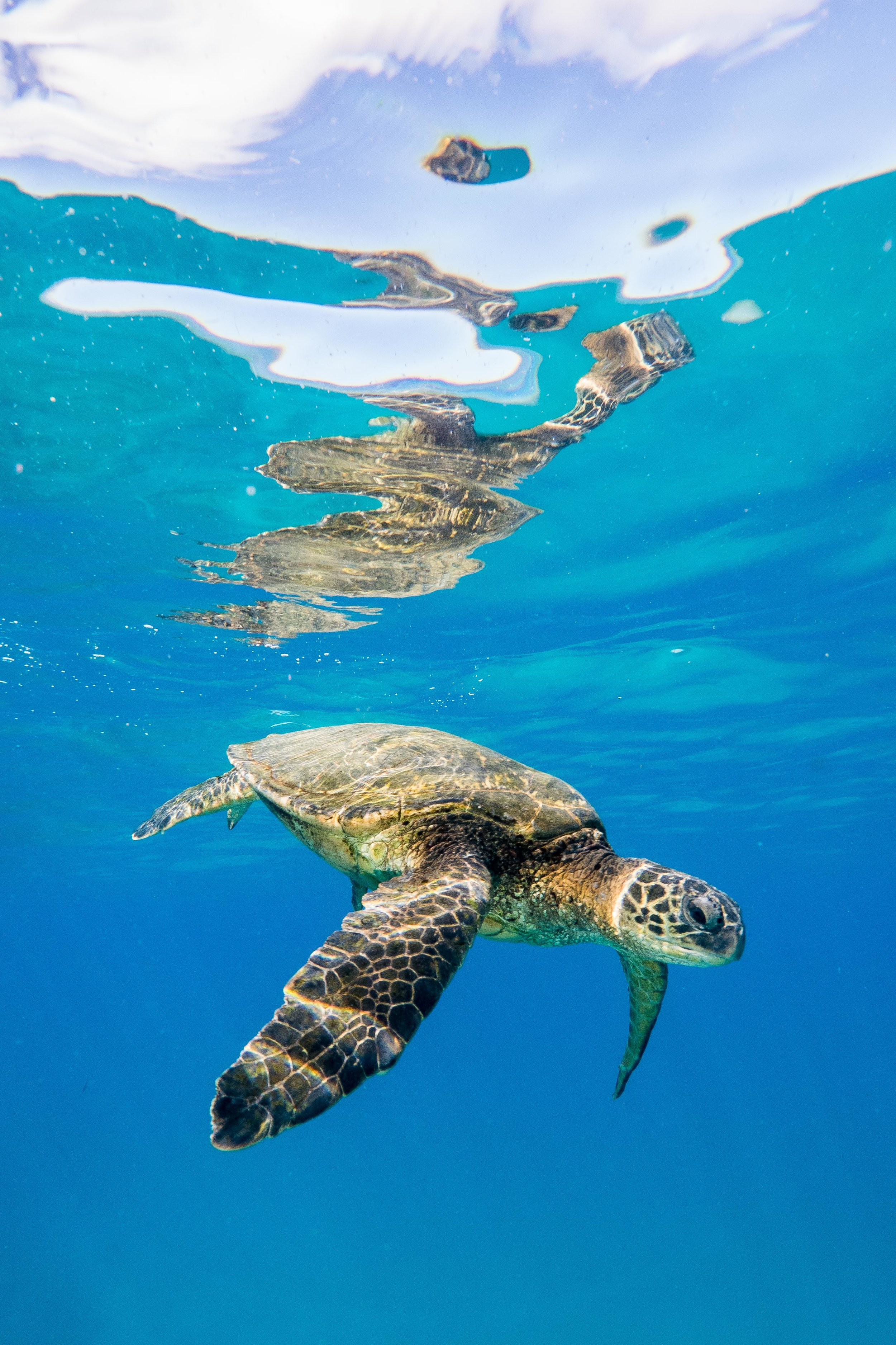 A green sea turtle floats just below the surface in Maui. Minutes before I took this photograph, I witnessed this turtle take a bite of plastic out of passing debris.