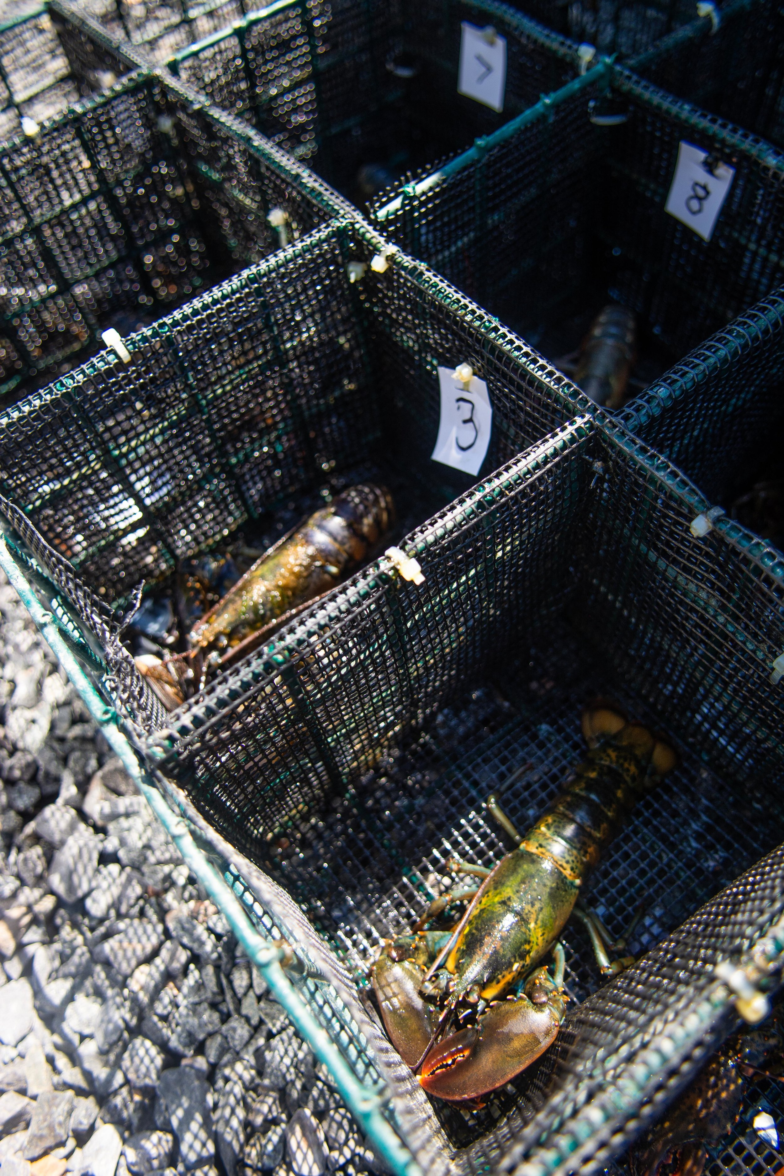 Lobsters are separated before the experiment to prevent fighting.