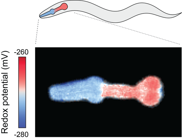 A visualization of oxidation in a C. elegans worm.