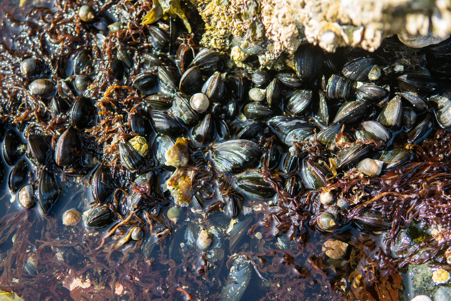 Blue mussels and common periwinkles are crammed into a crack in the rocks in Winter Harbor, Maine. Refugia like this crack may allow these organisms to weather extreme climate events.