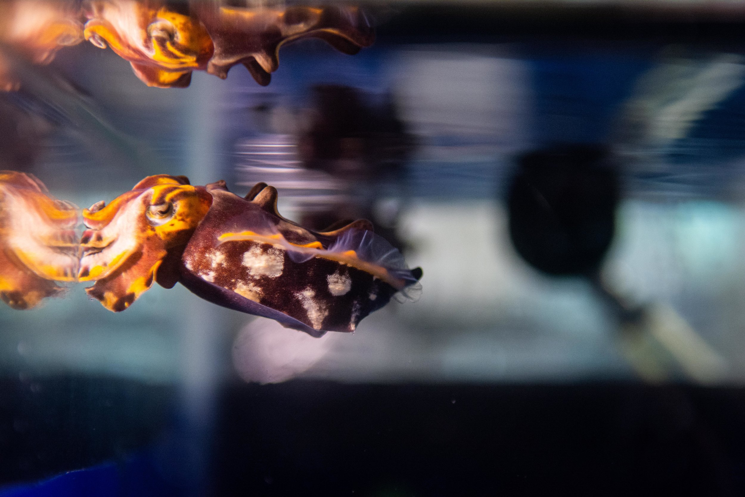 A Flamboyant Cuttlefish bobs near the surface of his tank in the Cephalopod lab at the Marine Biological Laboratory.