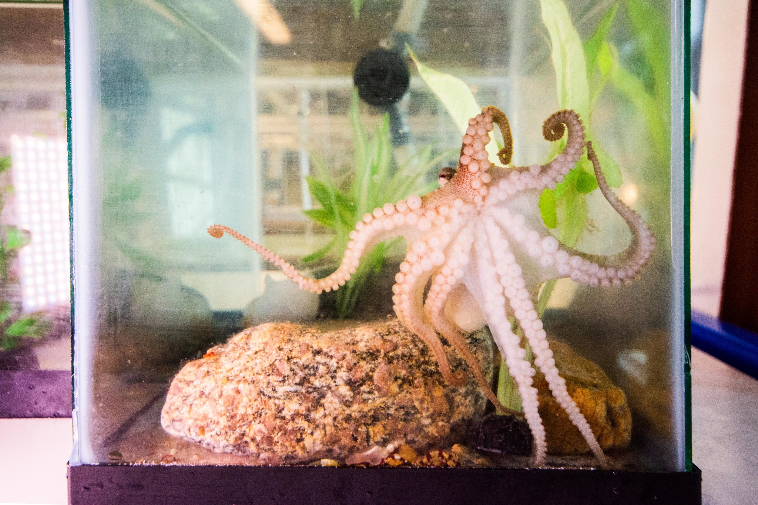 A California Two-spot octopus peers over its arms with one eye as it hugs the wall with 8 arms in the outreach tank at the MBL.
