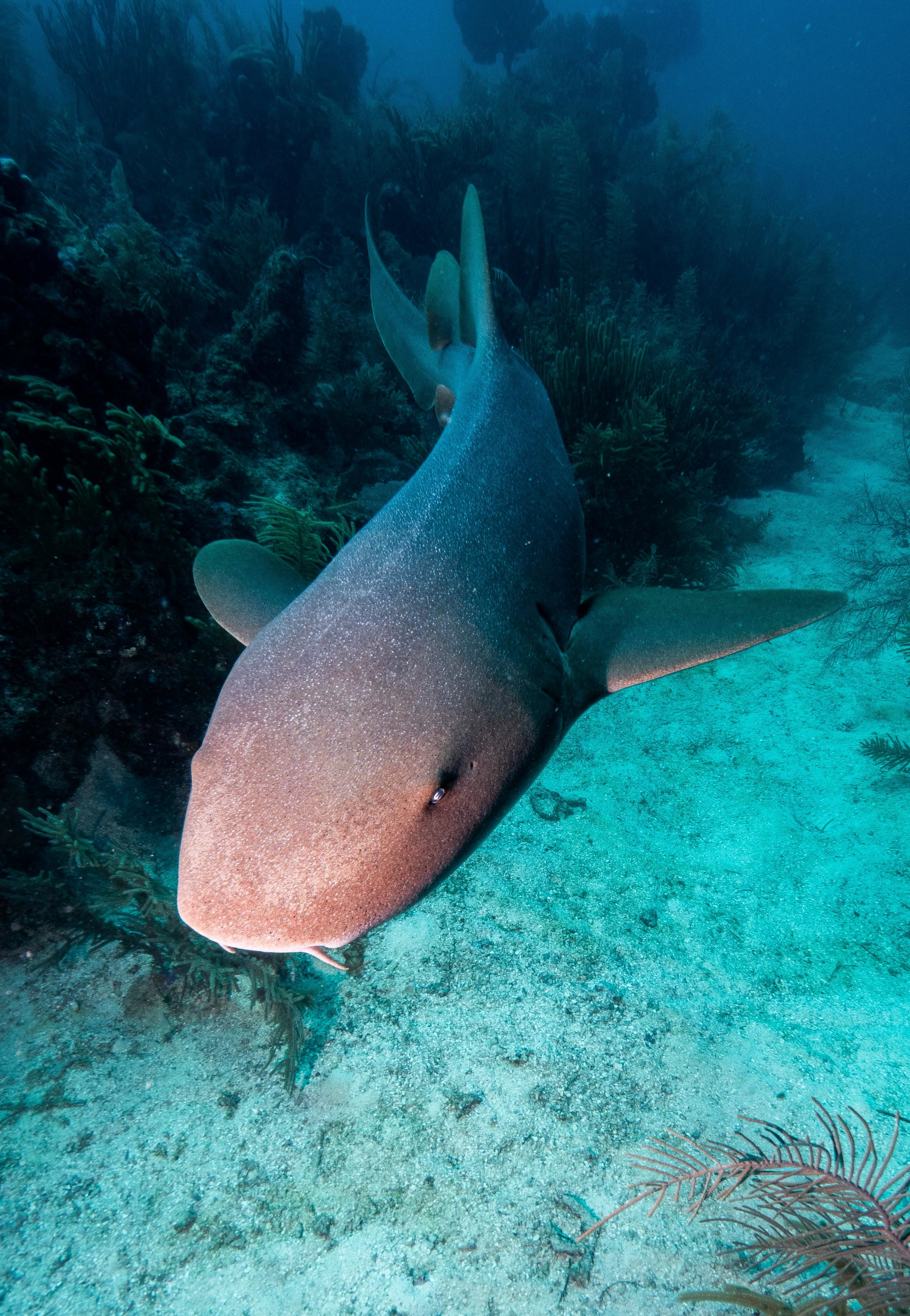 A nurse shark follows divers at Silk Caye, Belize. It has been fed lionfish in an attempt to teach the shark to eat lionfish. Here, it seems that this shark has only learned to be fed by divers.