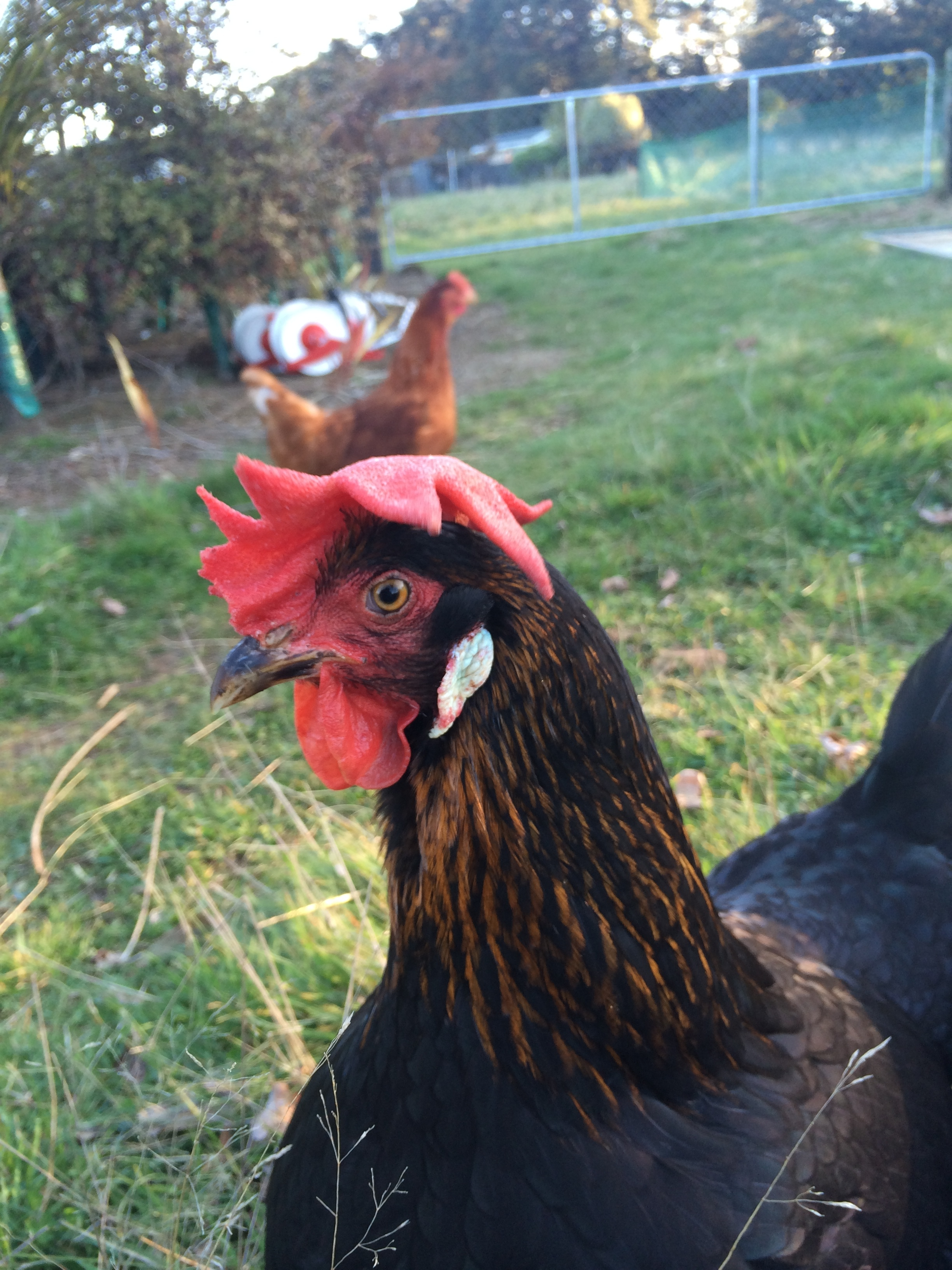 Farm Hen Pretending to be a Rooster