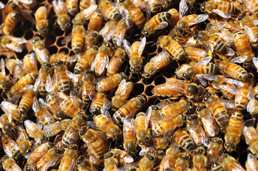 The queen bee directs her troops