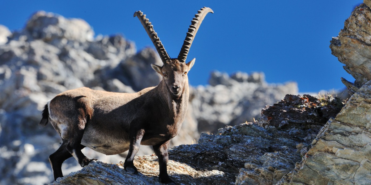wandern-graubuenden-steinbock-tierwelt-natur-fauna-steinwild.jpg
