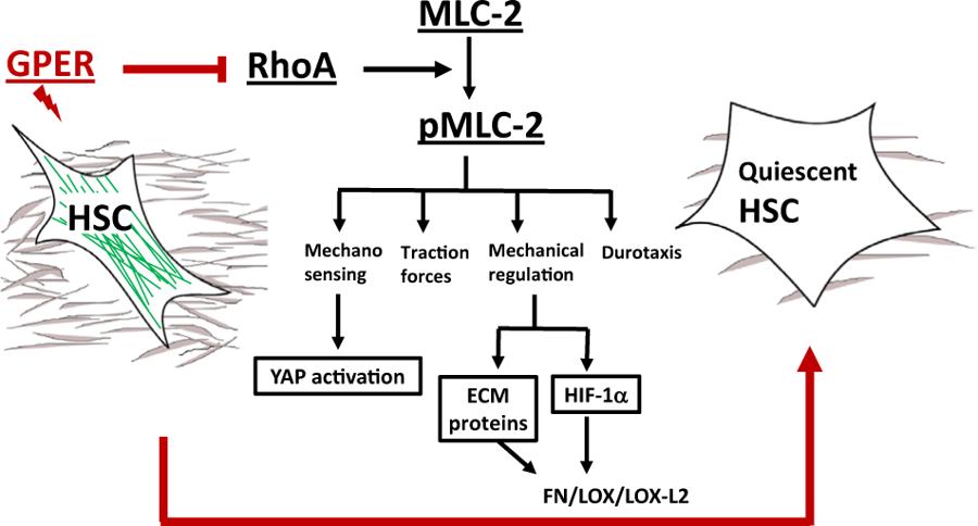 Tamoxifen Oncogene Model