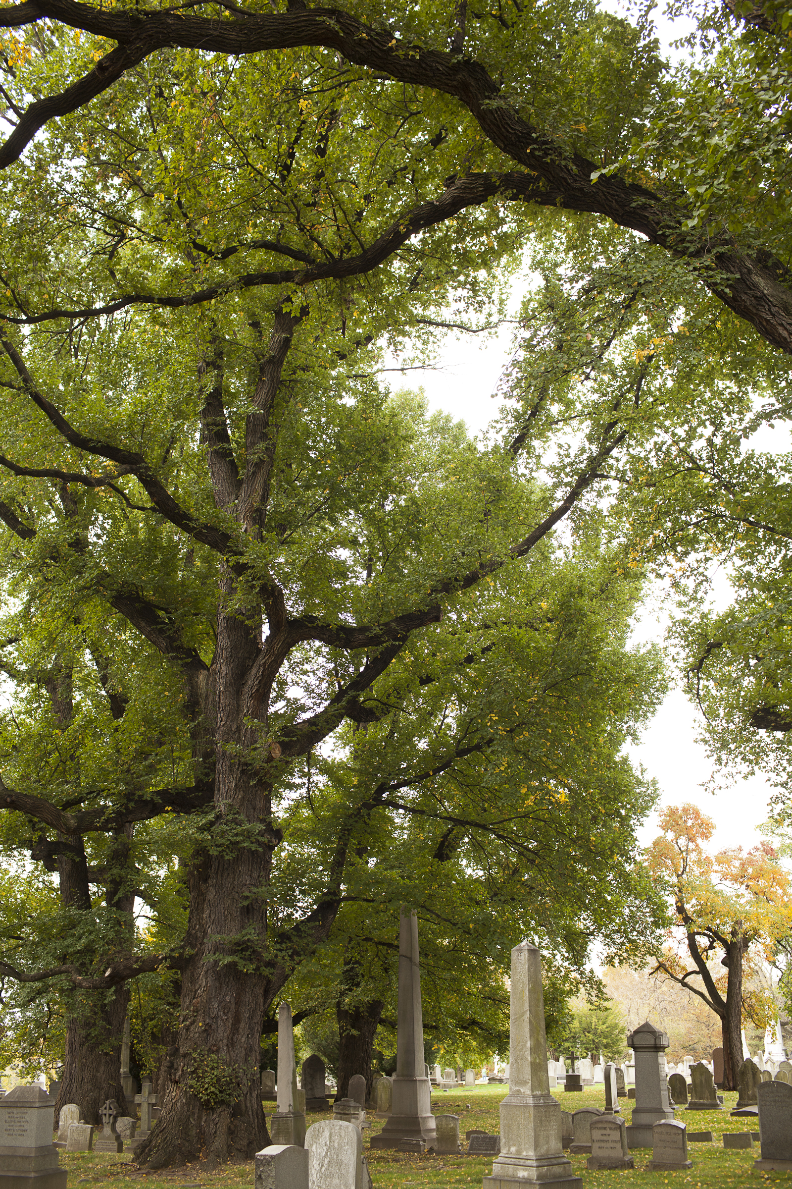 The English elm trees at The Woodlands are remnants of William Hamilton's 18th century landscaped estate. Some of the trees probably pre-date the cemetery monuments beneath them, and may even have been planted by Hamilton in the late 18th century. (Photograph by Ryan Collerd.)