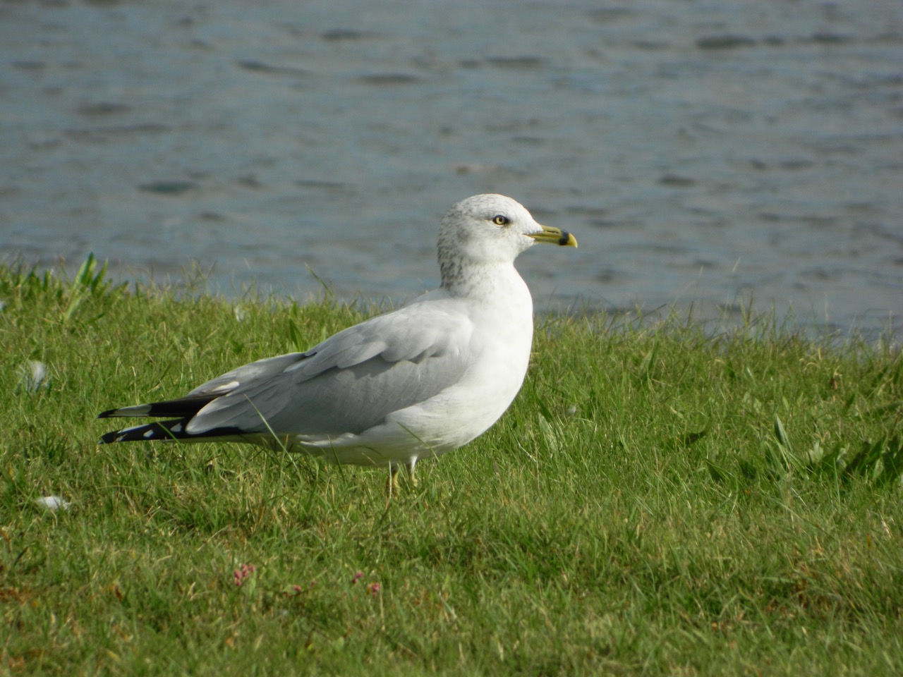 Ring-billed Gull photo by Toribird