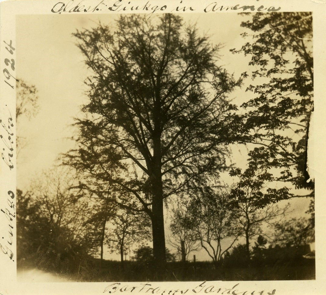 """A photograph of the Gingko at Bartram's Garden from 1924 captioned """"Oldest Gingko in America."""" After William Hamilton imported the first Gingko biloba into the country, he kept two on his property at The Woodlands and sent the third as a gift to William Bartram. The two at The Woodlands no longer stand, but the impressive Gingko at Bartram's still does and is recognized as the oldest living example in North America. (Photo: John Bowman Bartram Special Collections Library)"""