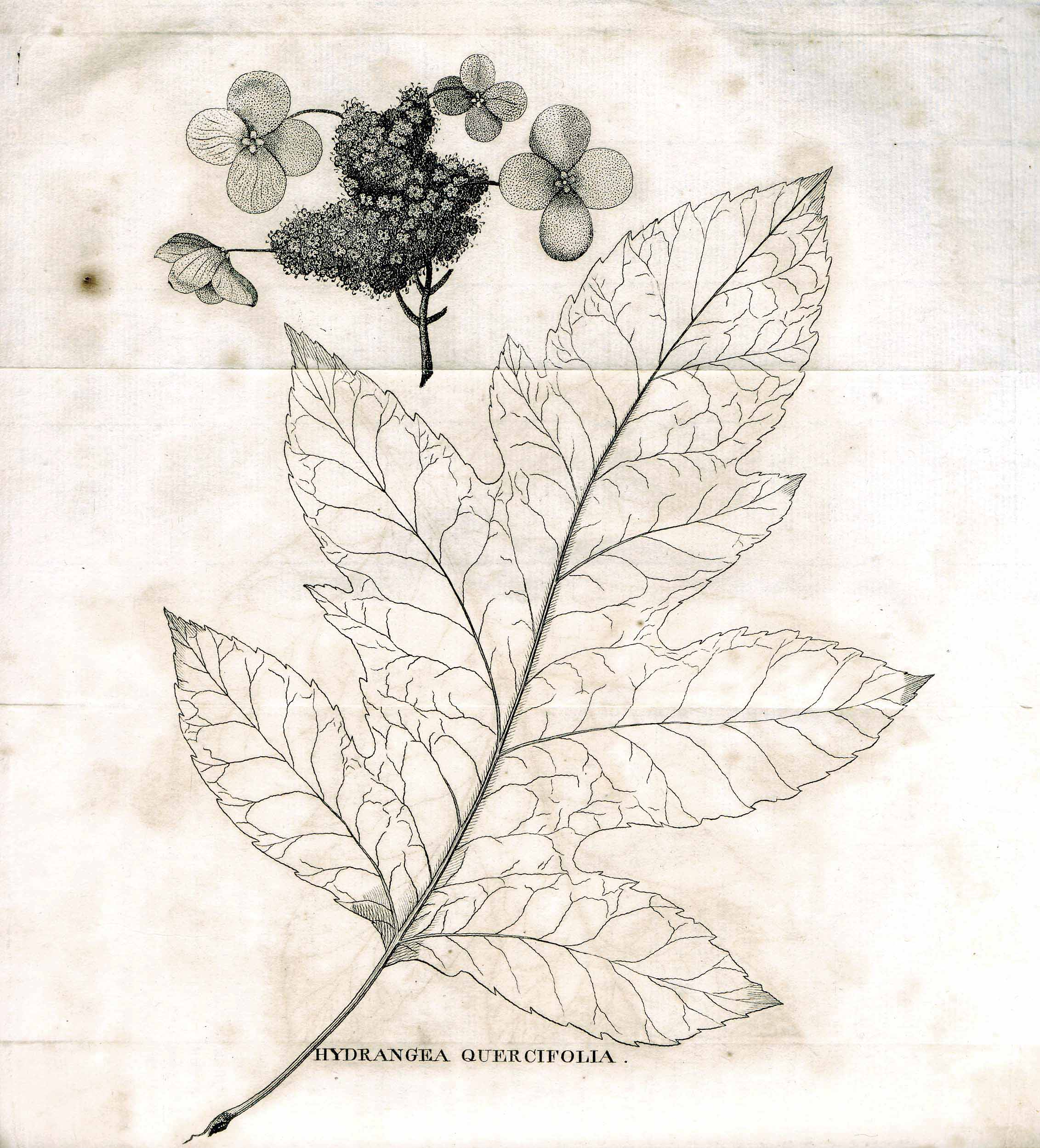 William Bartram's illustration of  Hydrangea quercifolia, engraved for the first edition of  Travels, Philadelphia: 1791. Image from the collections of the John Bartram Association.