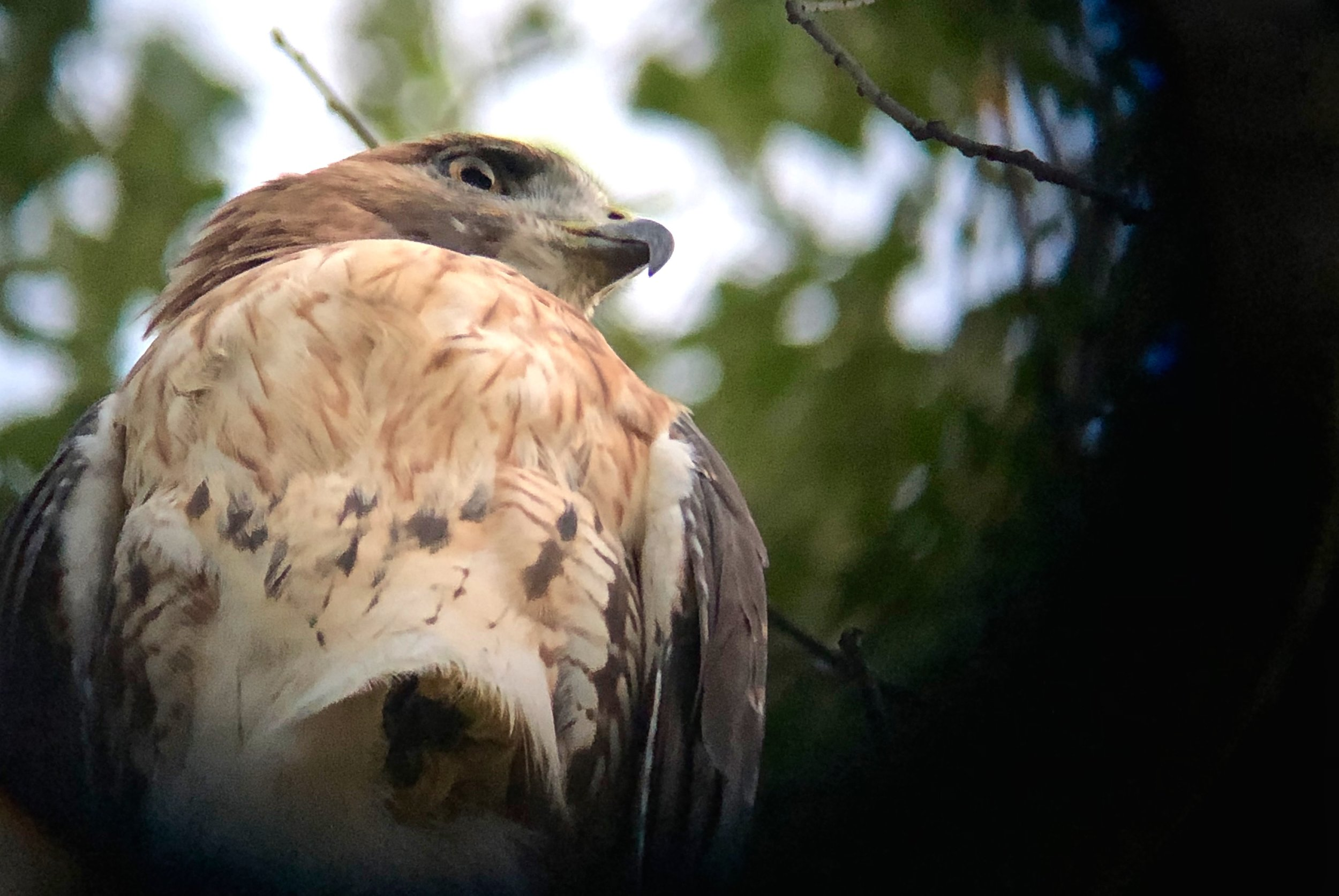 This same Red-tailed Hawk is shown in the video later in the blog. Photo taken at the Woodlands by Toribird.