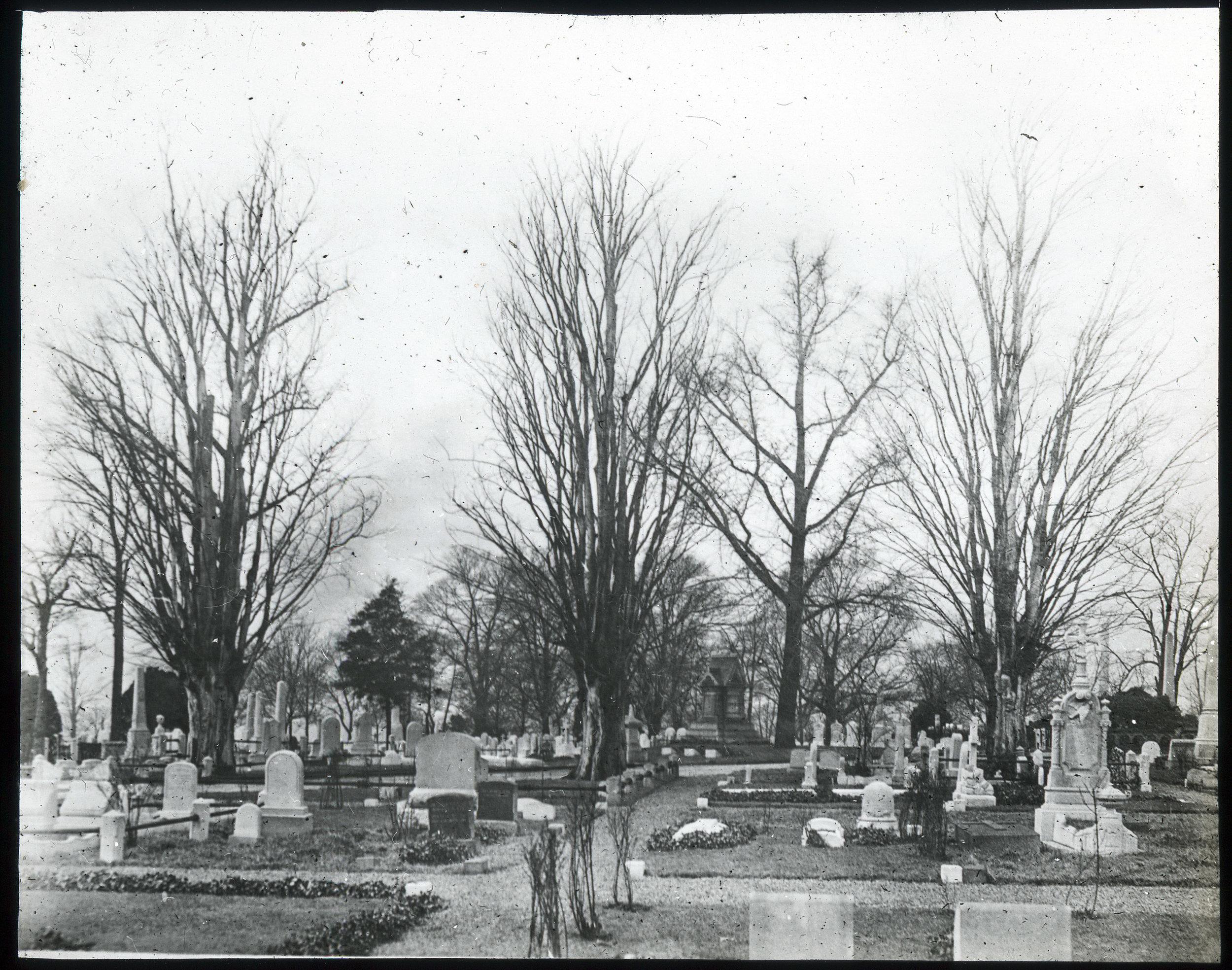 Woodlands-Zelkovas & Ginkgo ca. 4-1920 (1).jpg