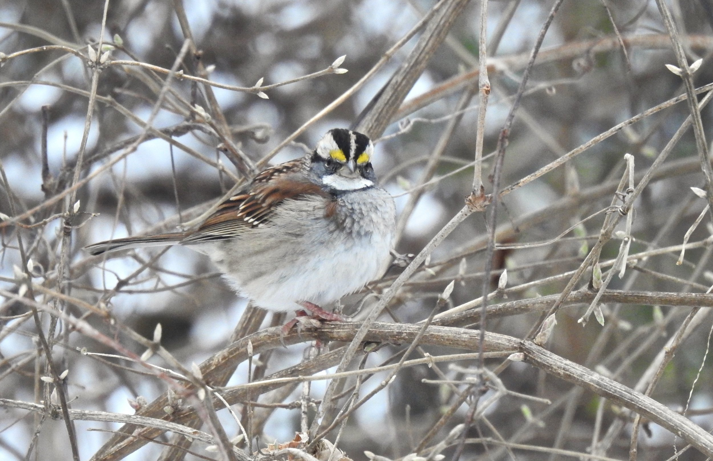 White-throated Sparrow. Photo taken at The Woodlands by Toribird.
