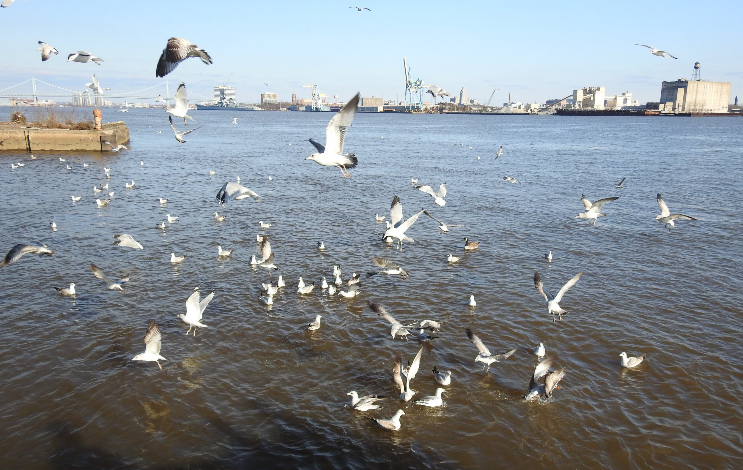 Mixed flock of gulls on the Delaware River. Photo by Toribird.