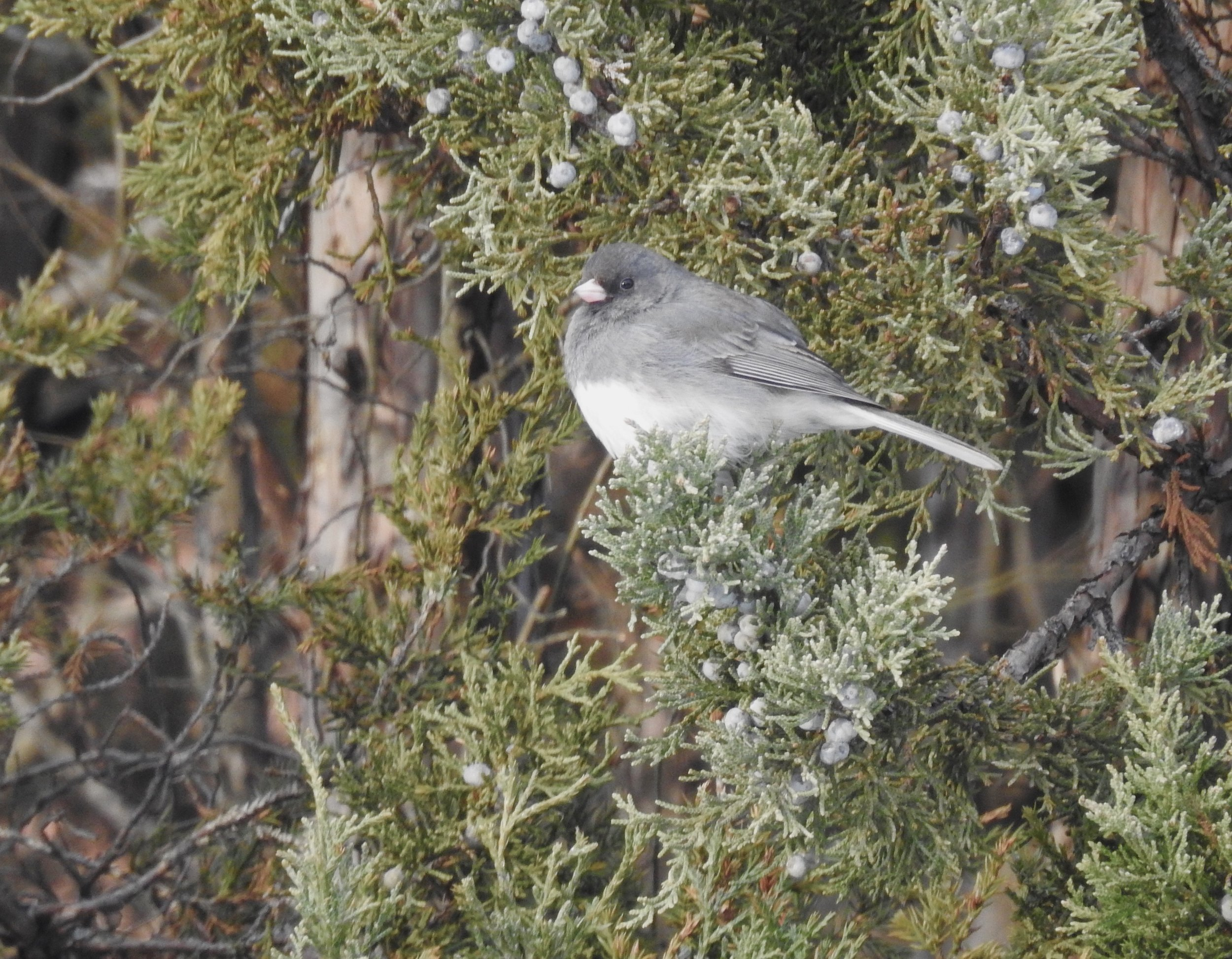 Dark-eyed Juncos (Snowbirds) are still around, but will fly back north soon. Picture by Toribird.