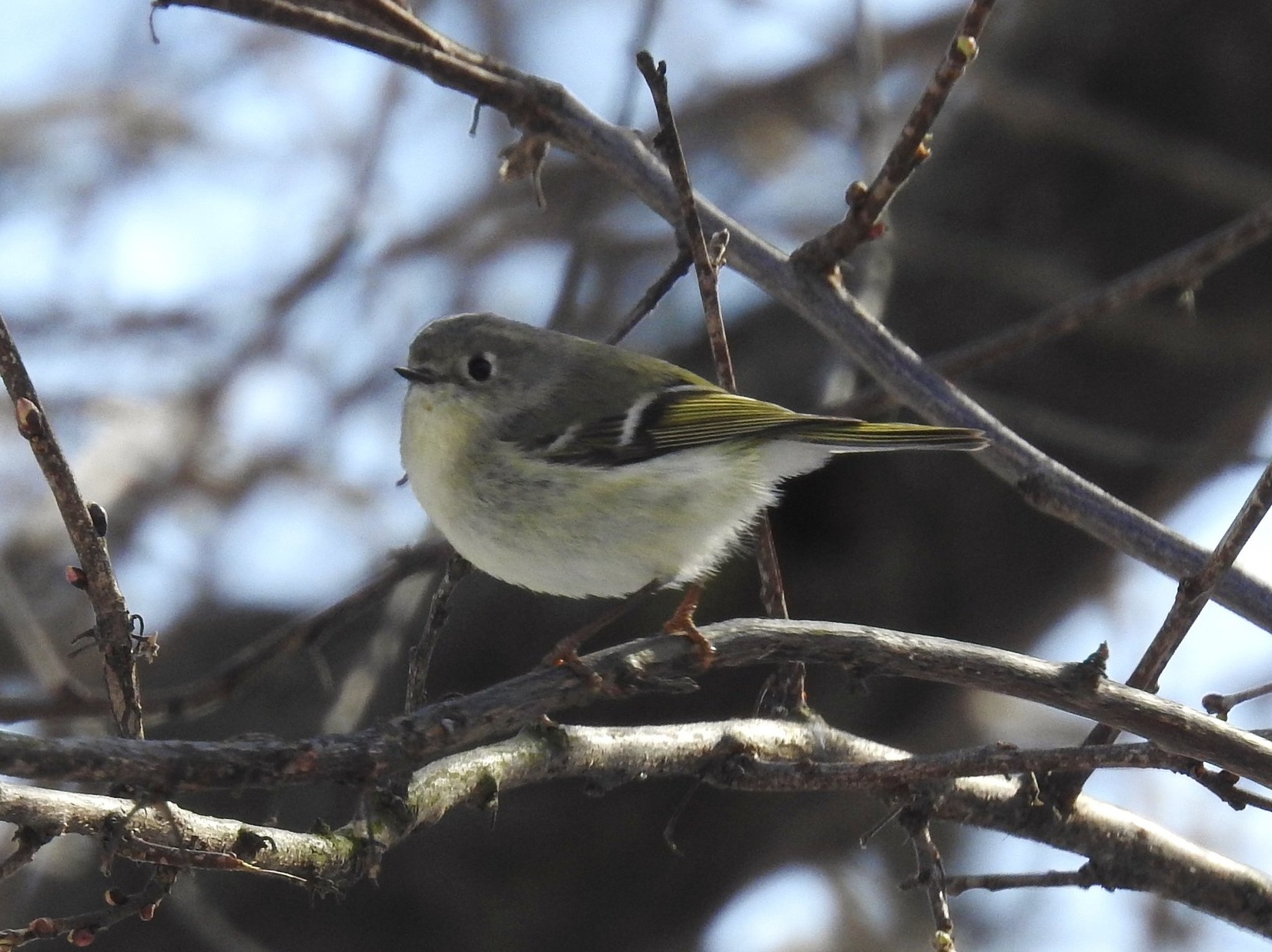 Cute Ruby-crowned Kinglet. Picture by Toribird.