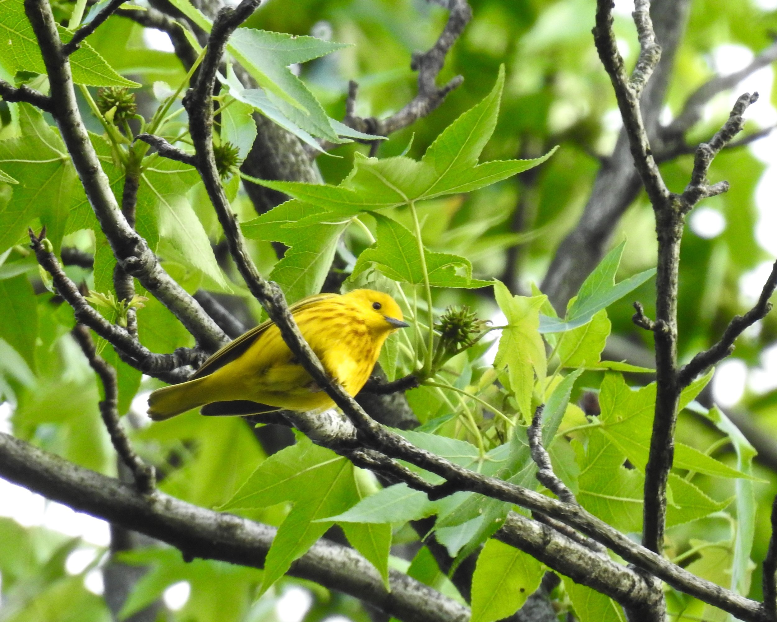 Male Yellow Warbler, photo by Toribird