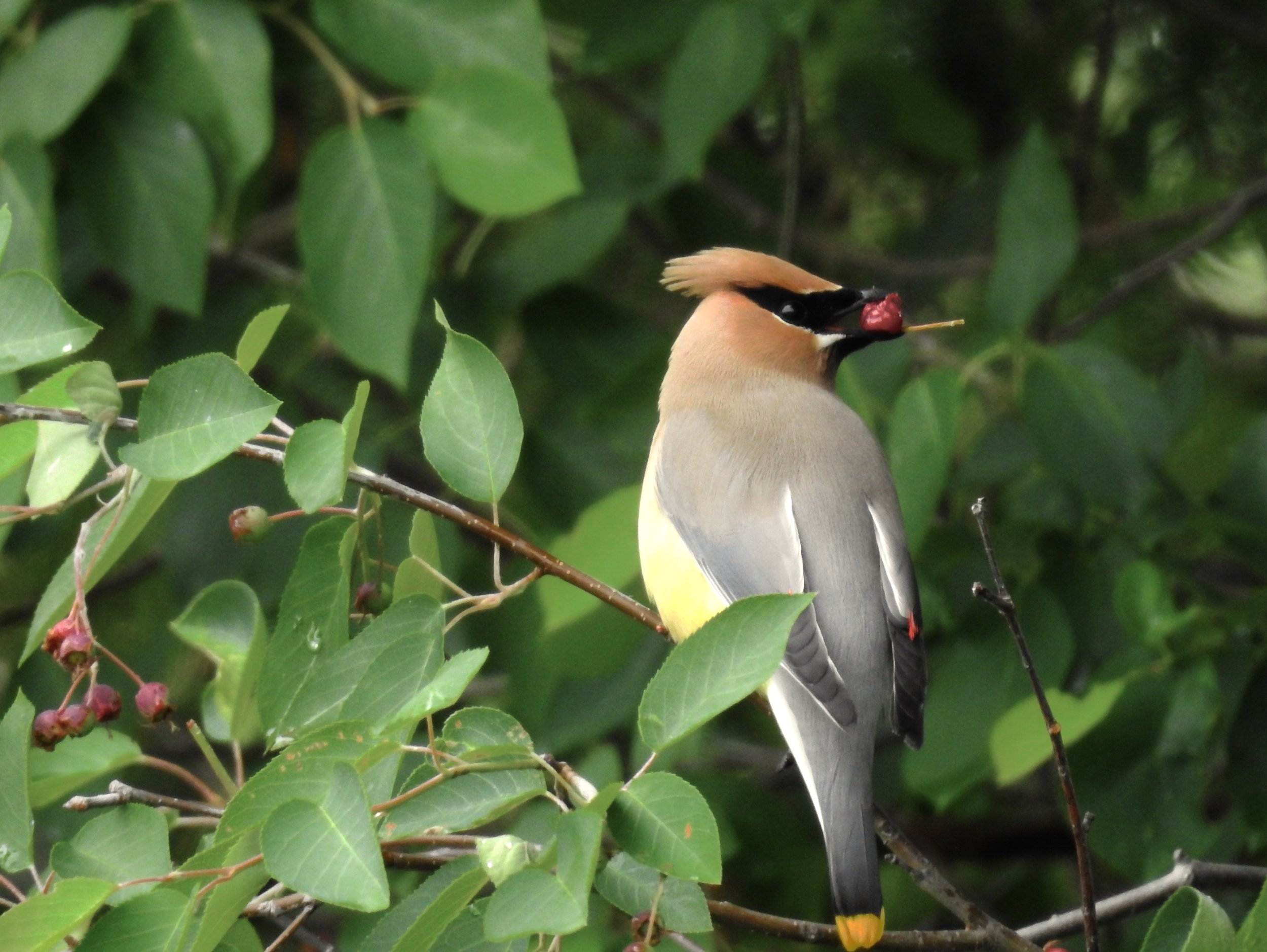 Cedar Waxwing enjoying berries, photo by Toribird