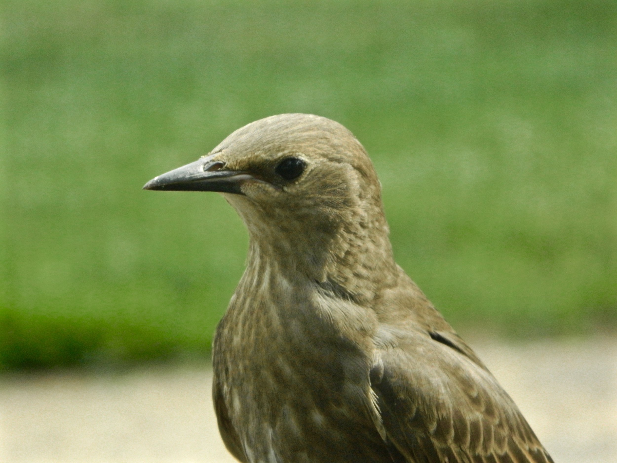 Starling in juvenile plumage, picture by Toribird