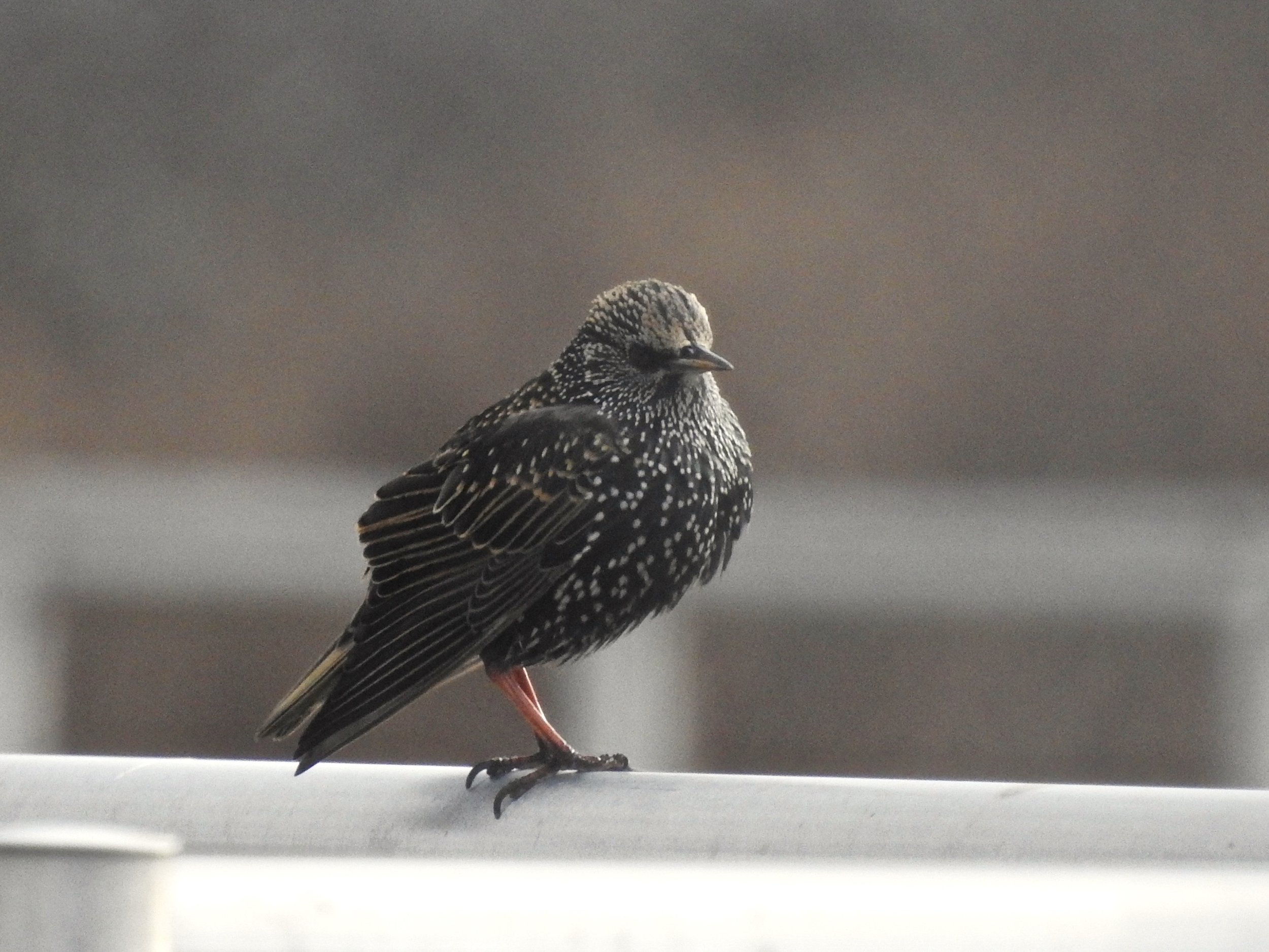 Adult starling, picture by Toribird