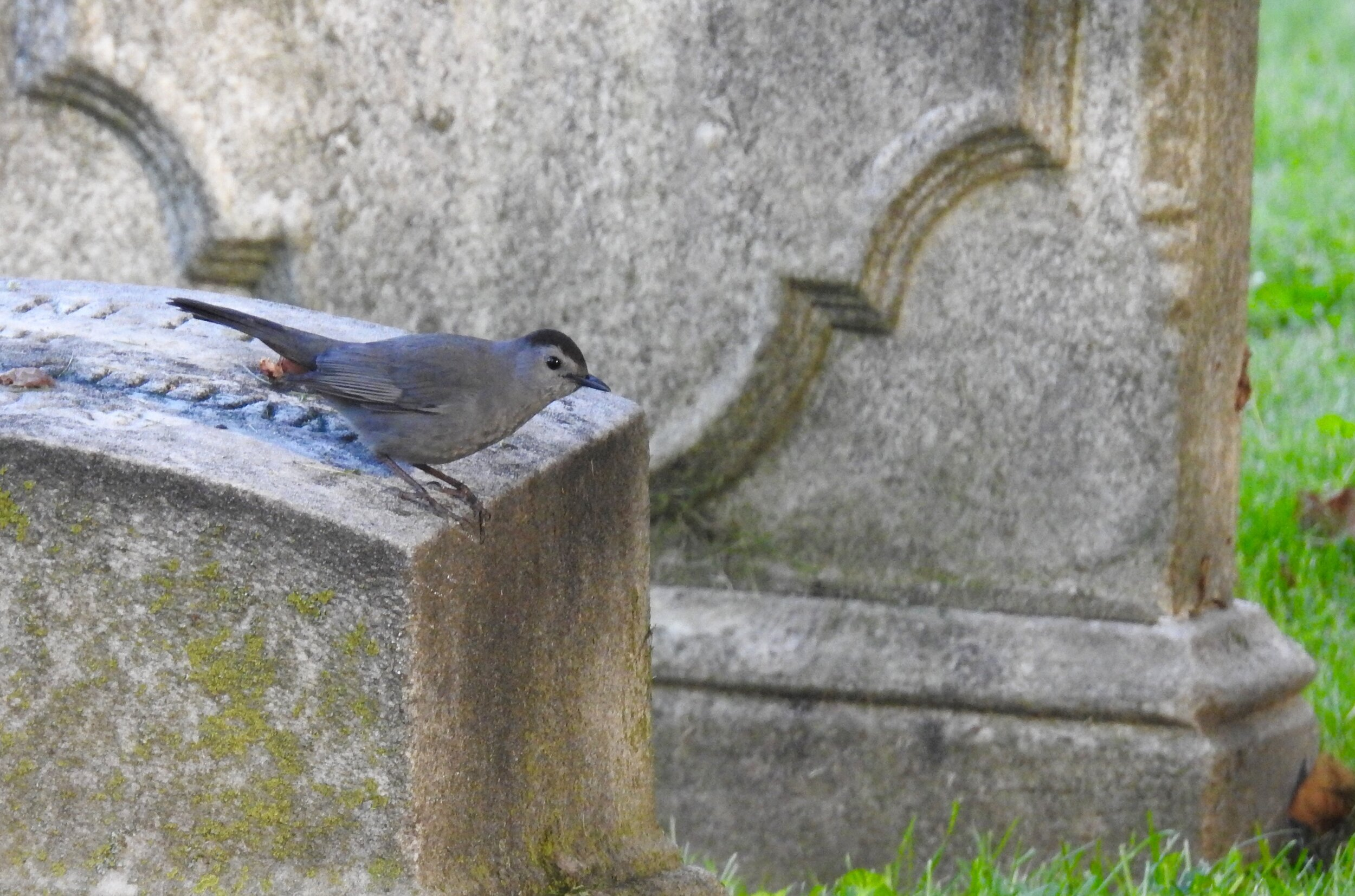 Gray Catbird at The Woodlands, photo by Toribird.