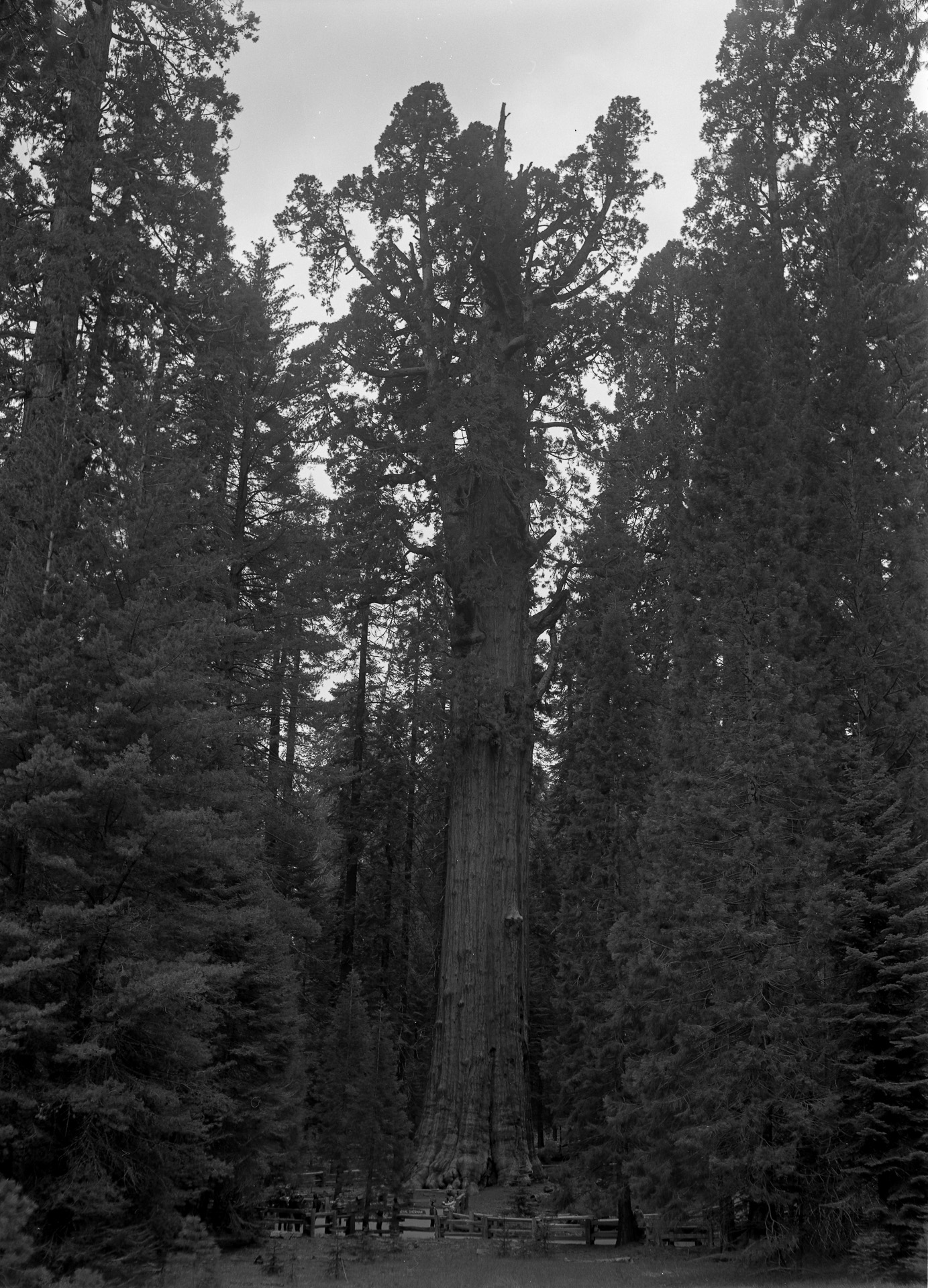 The General Sherman Tree, Sequoia National Park