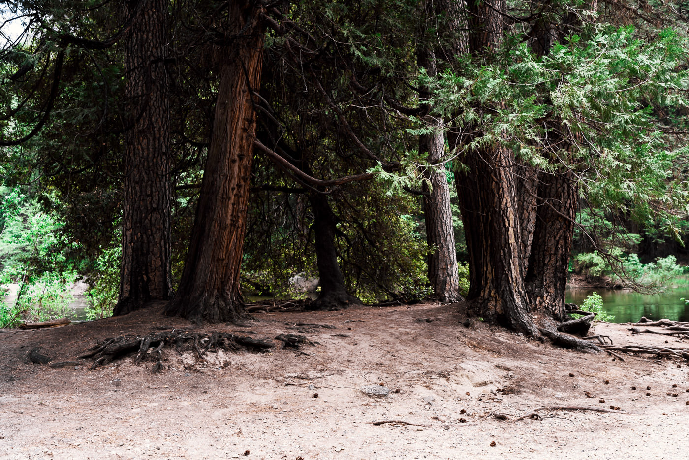 This Circle of pine trees along the Merced River make a natural alter for your wedding ceremony. It is located at The Cascades picnic area in Yosemite National Park.