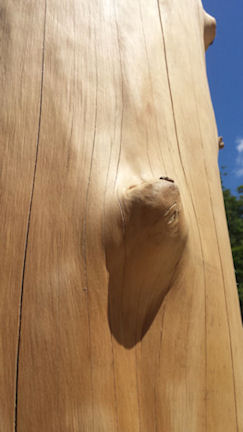 Peeled log